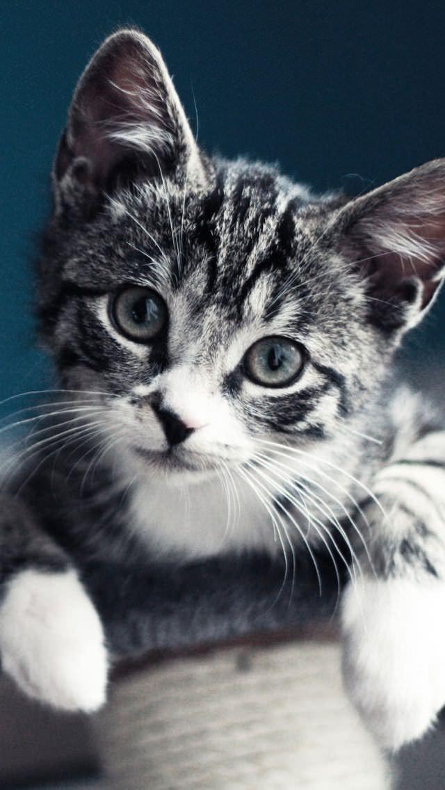 Cute Kittens Wallpaper For Iphone ぶら下がる三毛猫 Iphone5 壁紙 Wallpaperbox