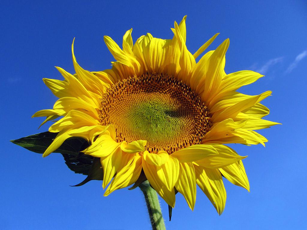 Sonnenblume Hintergrundbilder Kostenlos Sommer