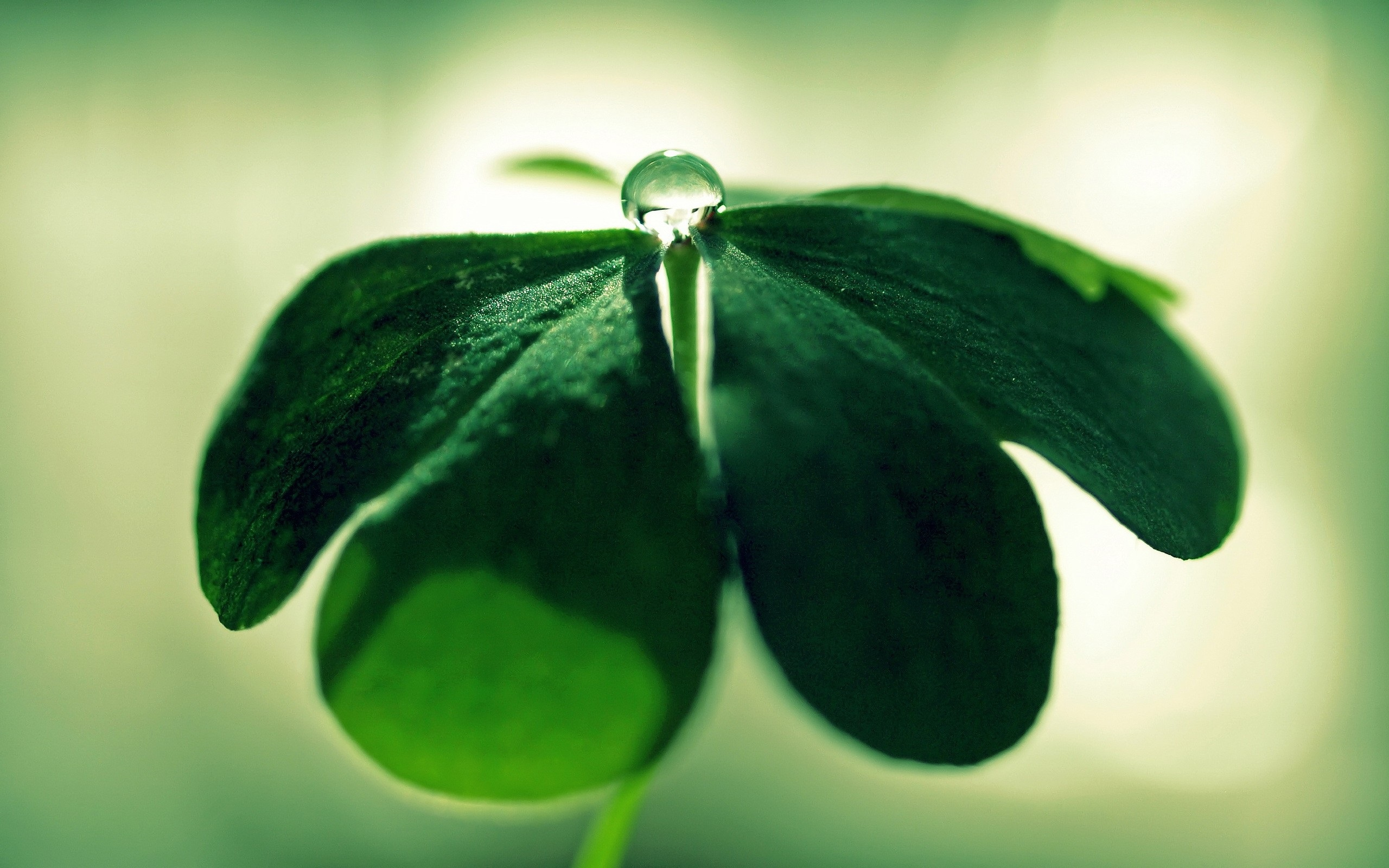 3d Wallpaper Full Hd For Pc Clover Plant Close Up Green Dew Wallpaper Nature And