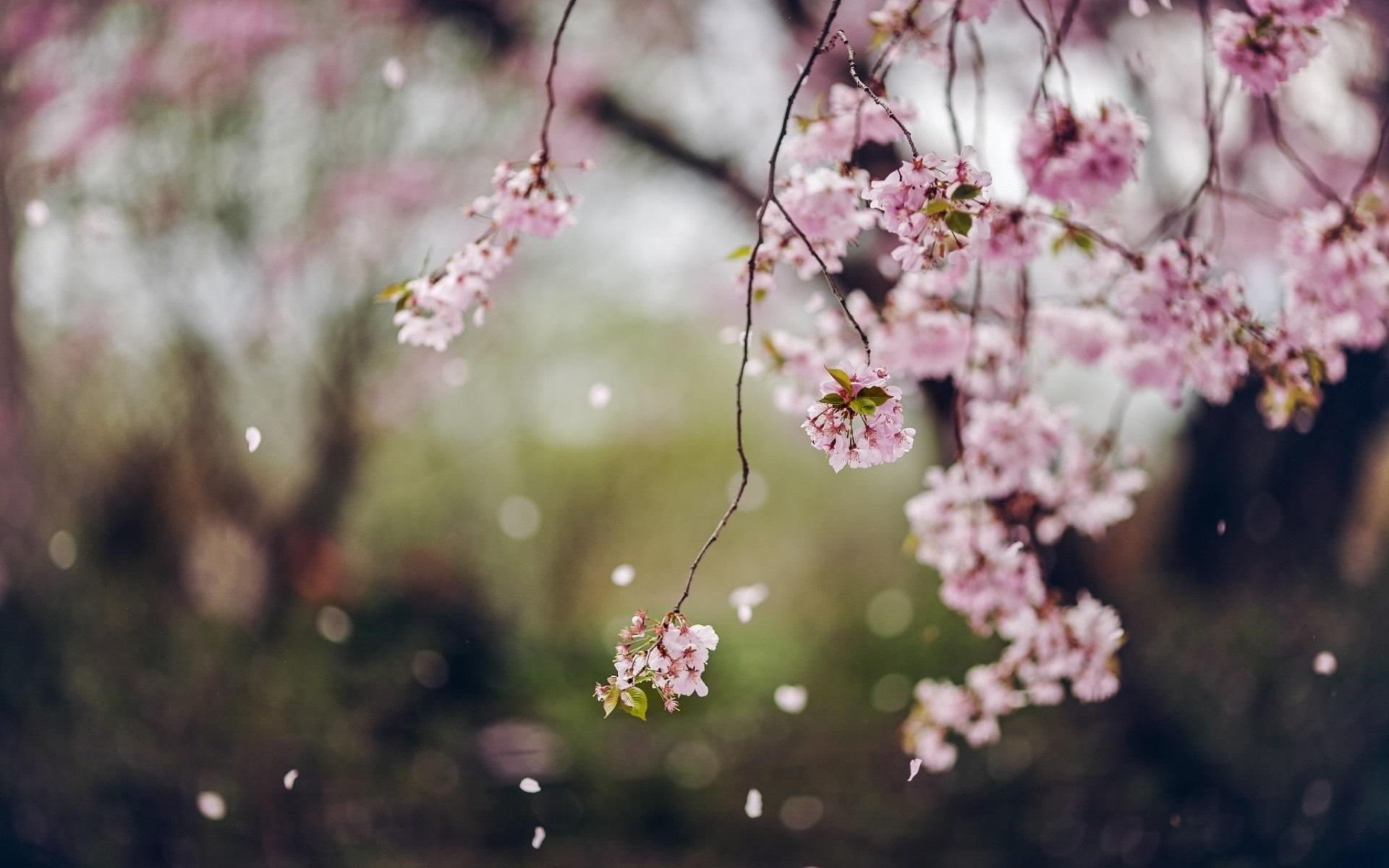 Beautiful Colorful Girls Anime Sakura Wallpaper Trees Cherry Flowers Blossom Spring Petals Wallpaper