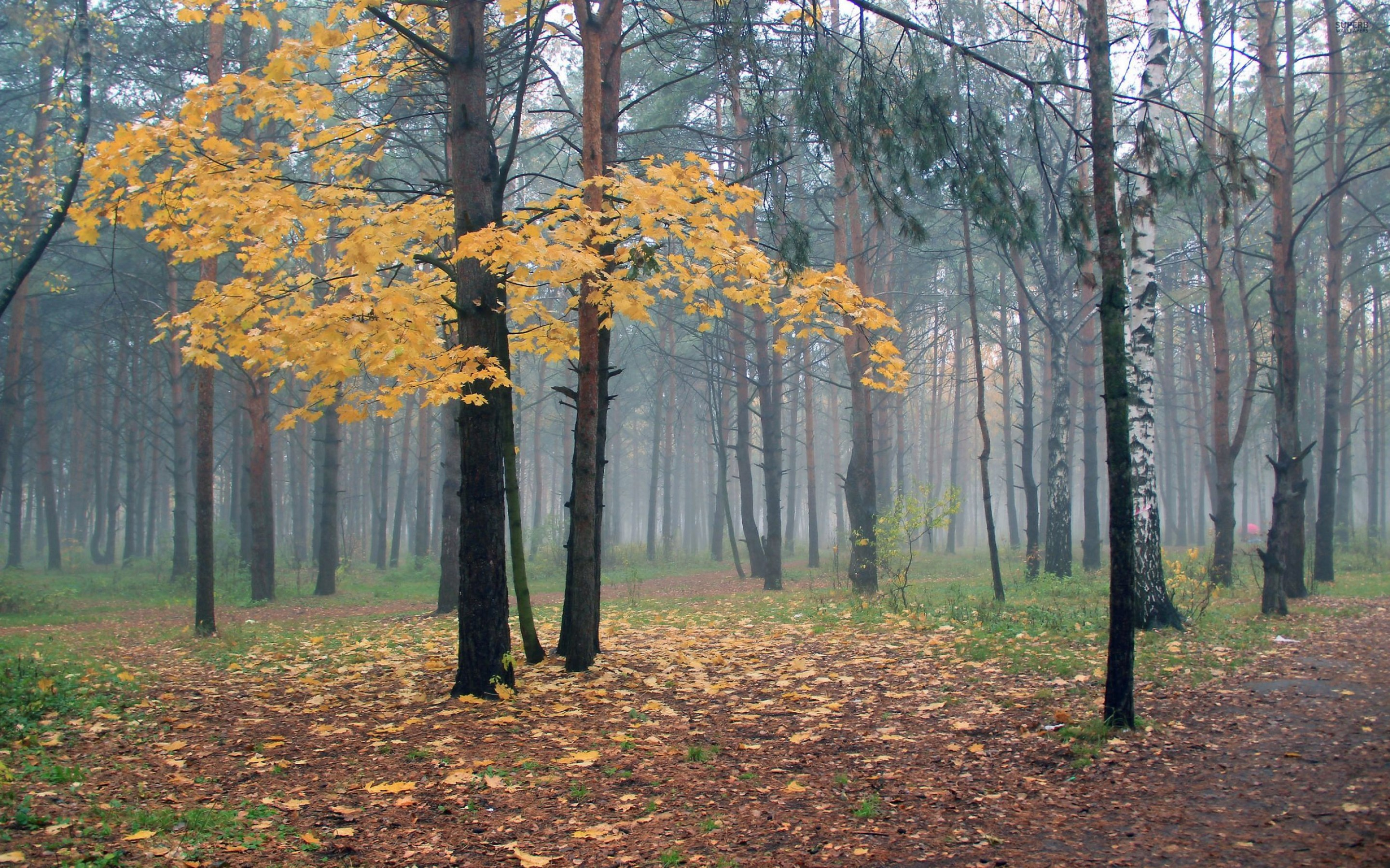 Fall Hd Wallpapers 1080p Foggy Autumn Forest Wallpaper Nature And Landscape