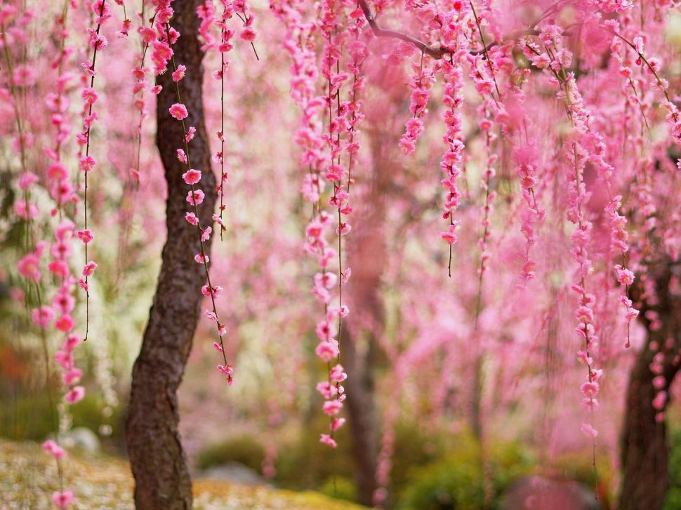 Beautiful spring, pink flowers bloom, trees wallpaper,Beautiful HD wallpaper,Spring HD wallpaper,Pink HD wallpaper,Flowers HD wallpaper,Bloom HD wallpaper,Trees HD wallpaper,1920x1440 wallpaper