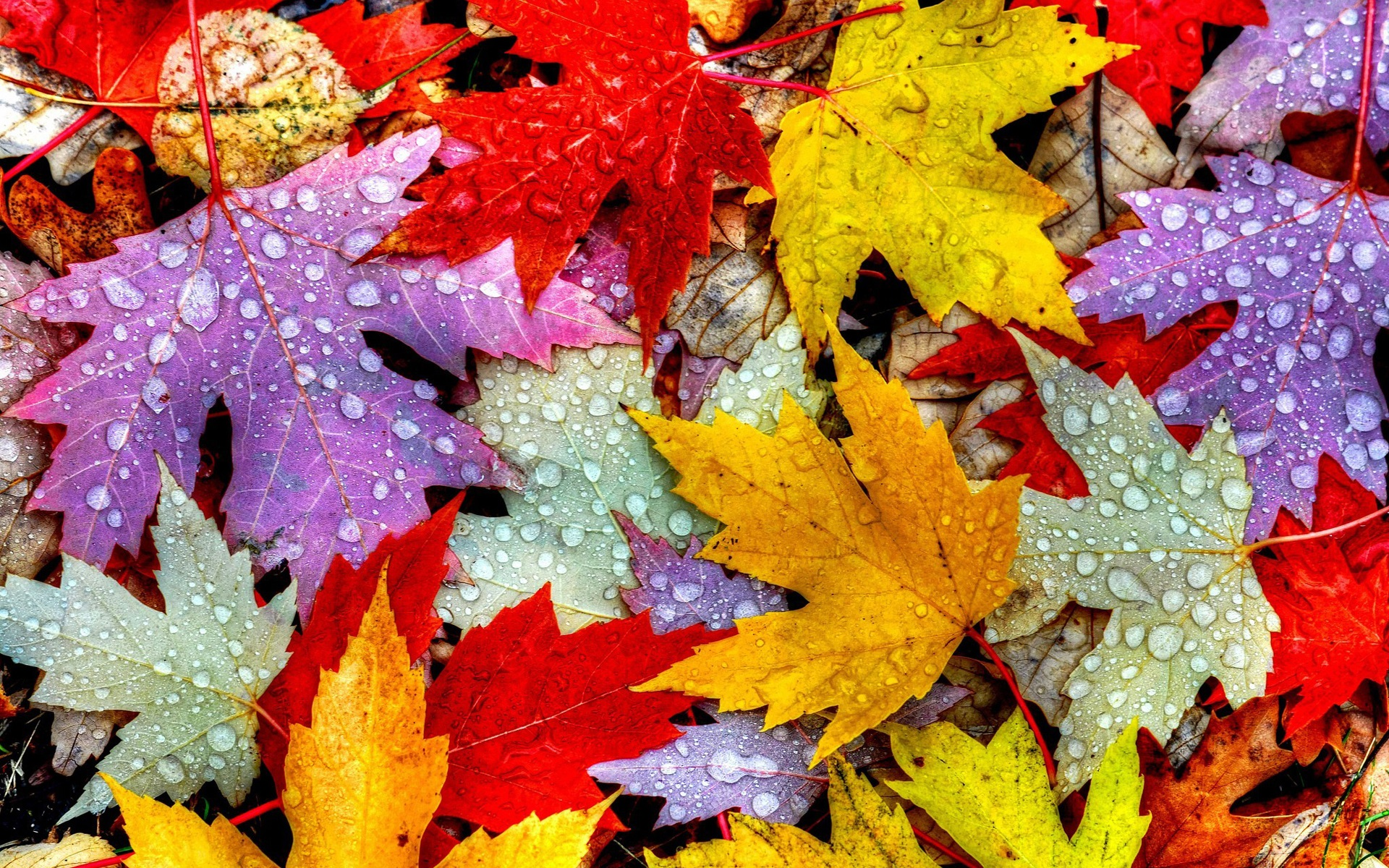 Fall Themed Wallpaper Iphone Leaves Autumn Water Drops Yellow Red Purple Wallpaper