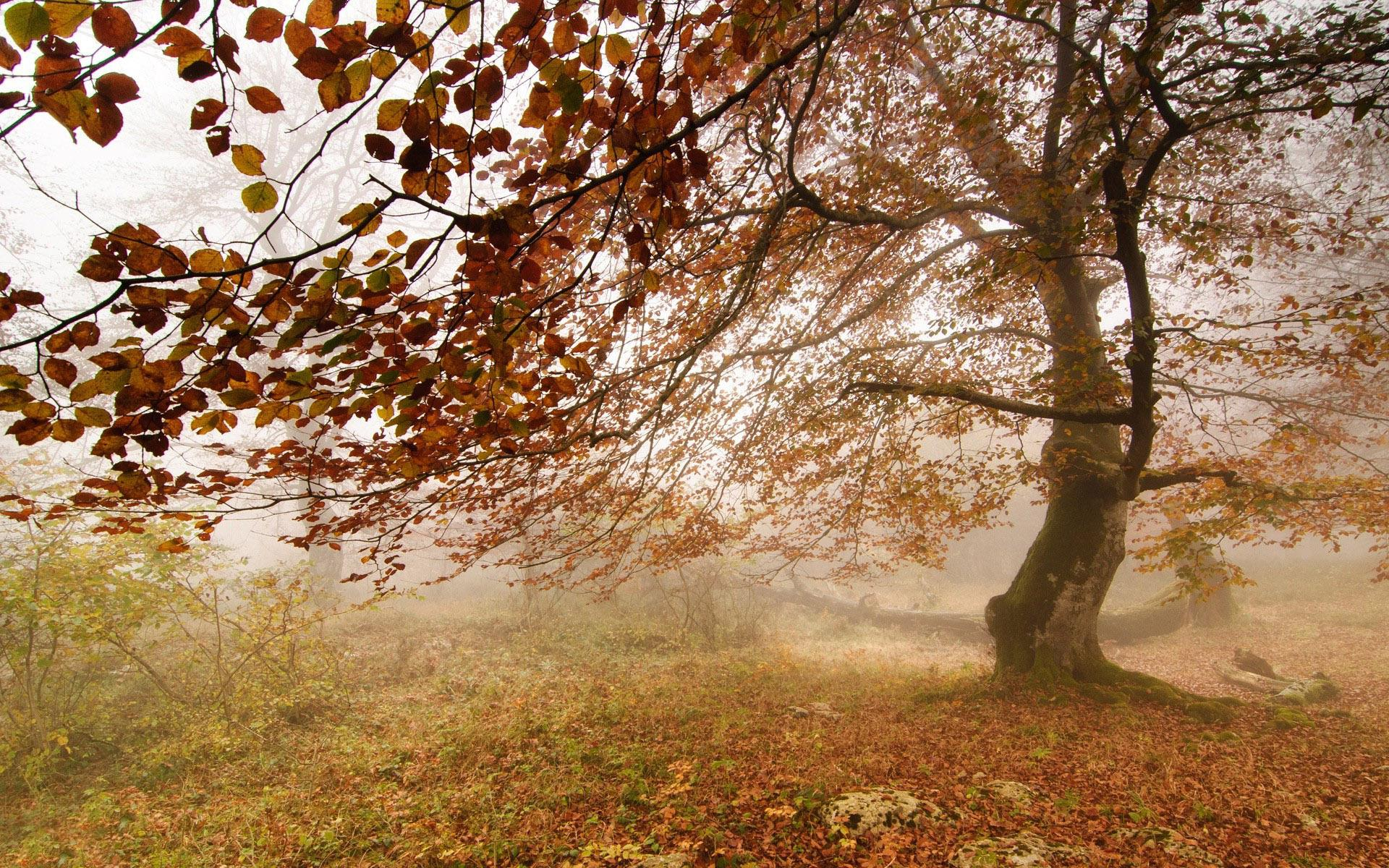 Fall Tree Desktop Wallpaper Tree In The Foggy Fall Day Wallpaper Nature And