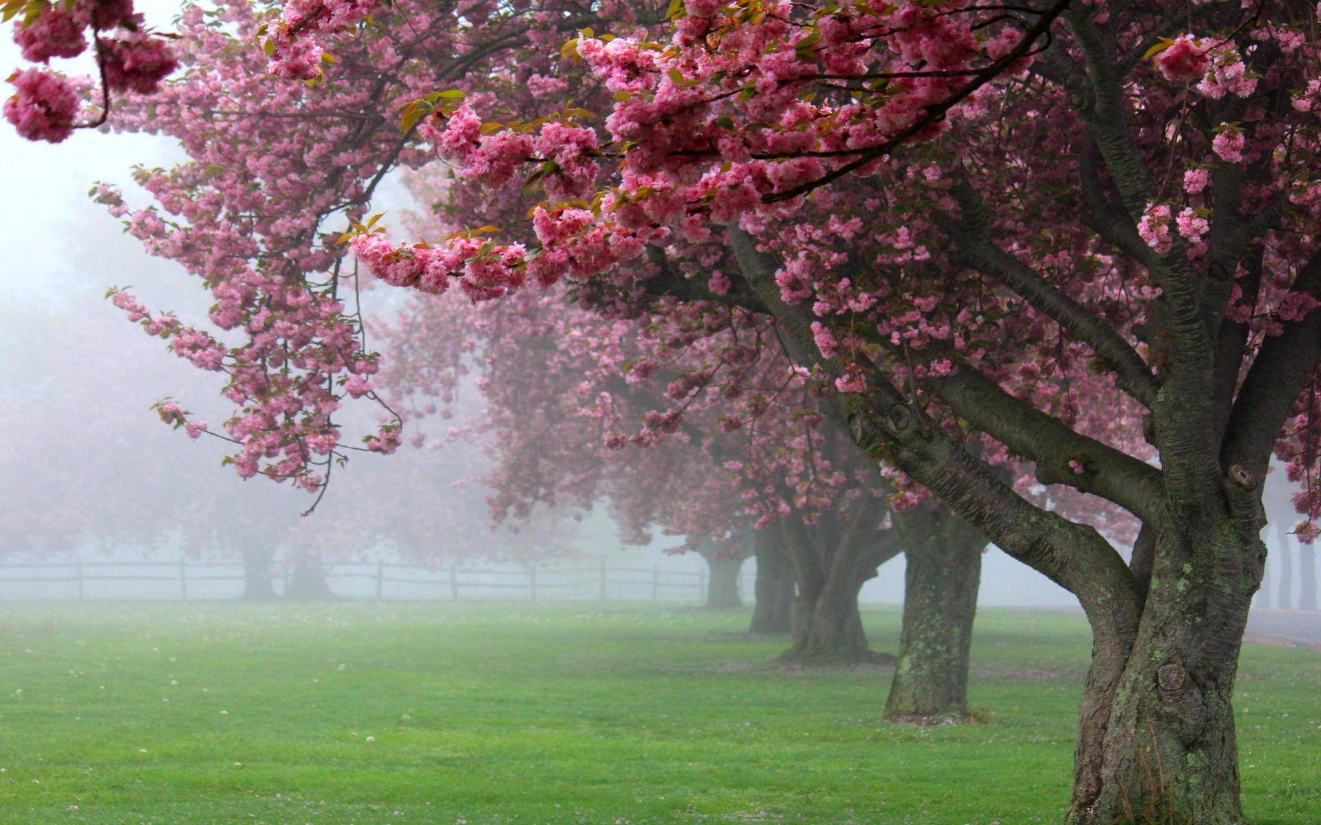 Nature Landscape Cherry Trees Mist Pink Flowers