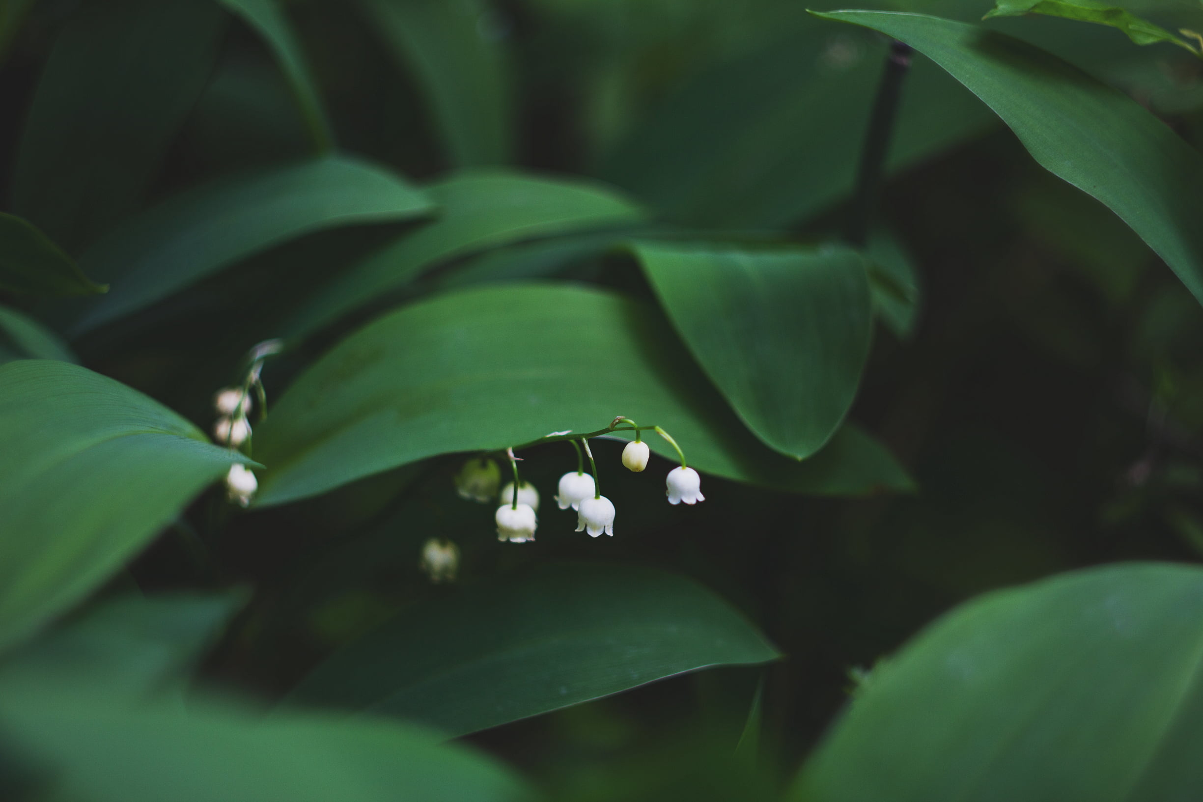 Iphone 2g Wallpaper For Iphone X Lily Of The Valley Hd Wallpaper Wallpaper Flare
