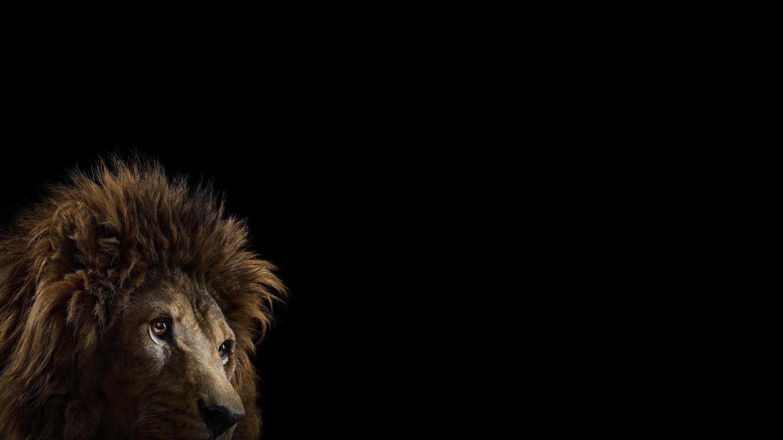 brown lion on black