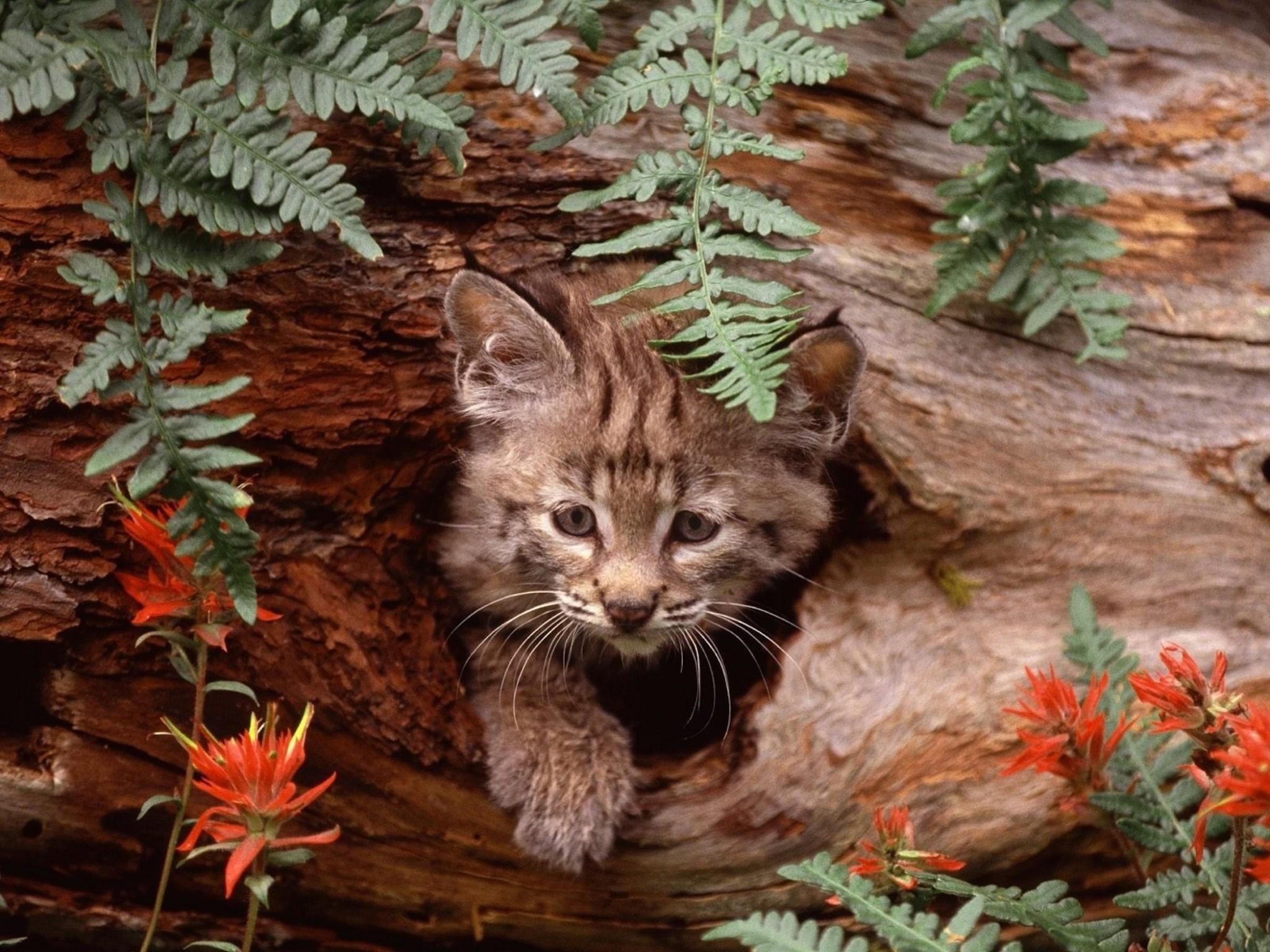 Fall Kittens Wallpaper Bobcat Kitten Hiding Wallpaper Free Downloads