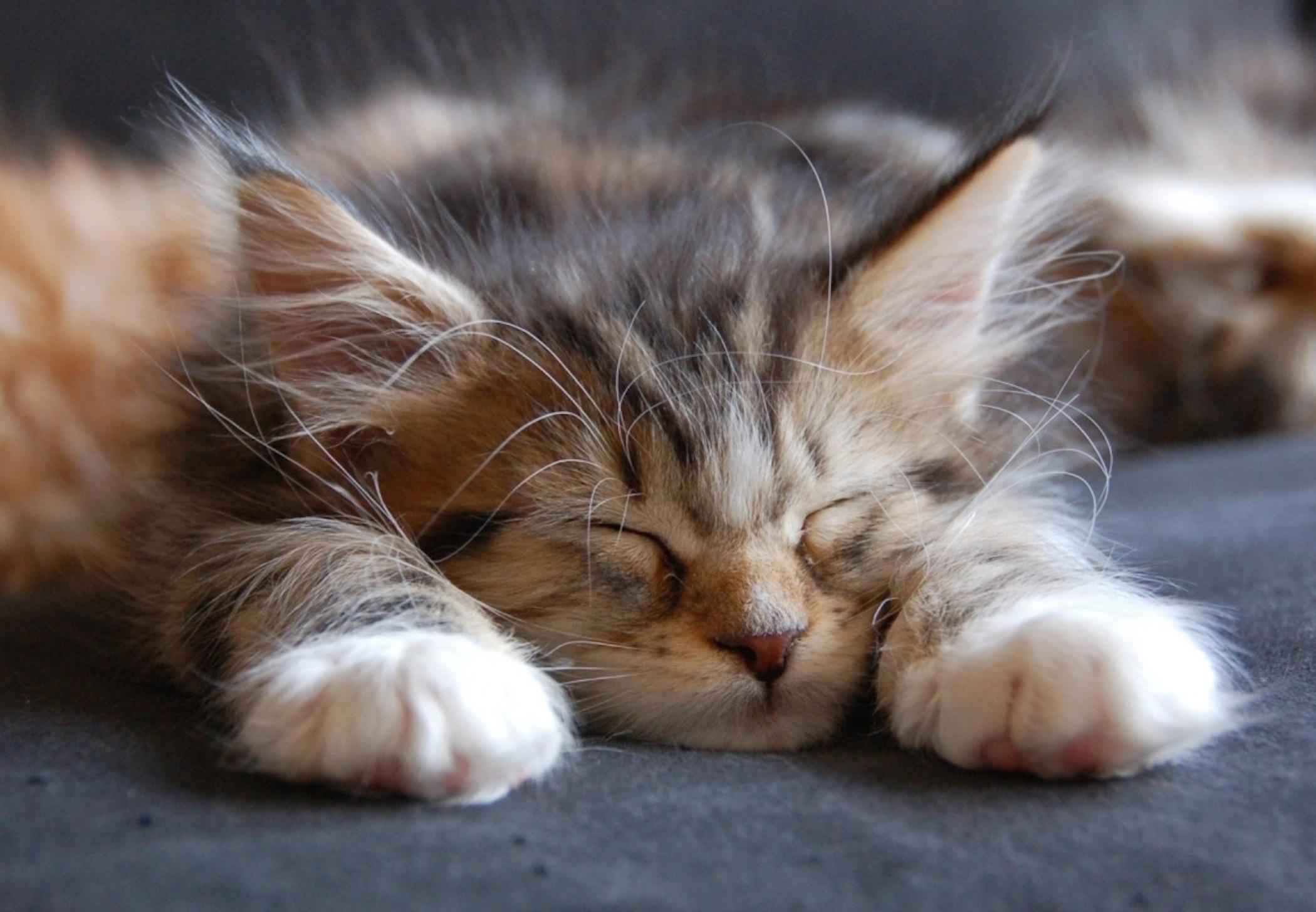 Cute Mice Wallpaper Cute Maine Coon Kitten Sleeping Wallpaper Hd Free
