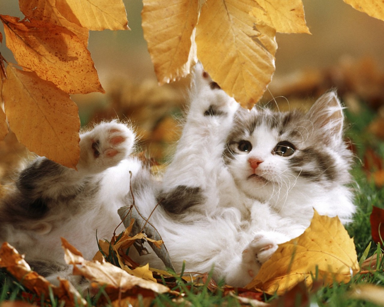 Cute Fluffy Dogs Wallpaper Autumn Kitten Playing Wallpaper Free Hd Cat Images
