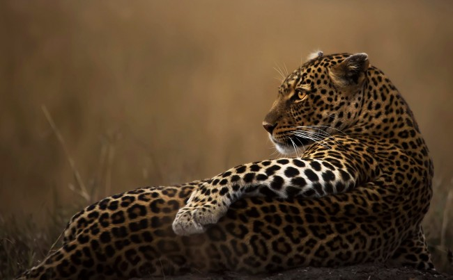 Cute Cats Wallpapers Android Download 1920x1080 Leopard Lying Down Lazy Big Cats