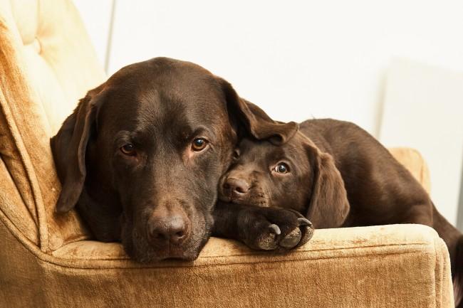 Cute Lock Screen Wallpaper Hd Wallpaper Labrador Family Dogs Cute Wallpapermaiden