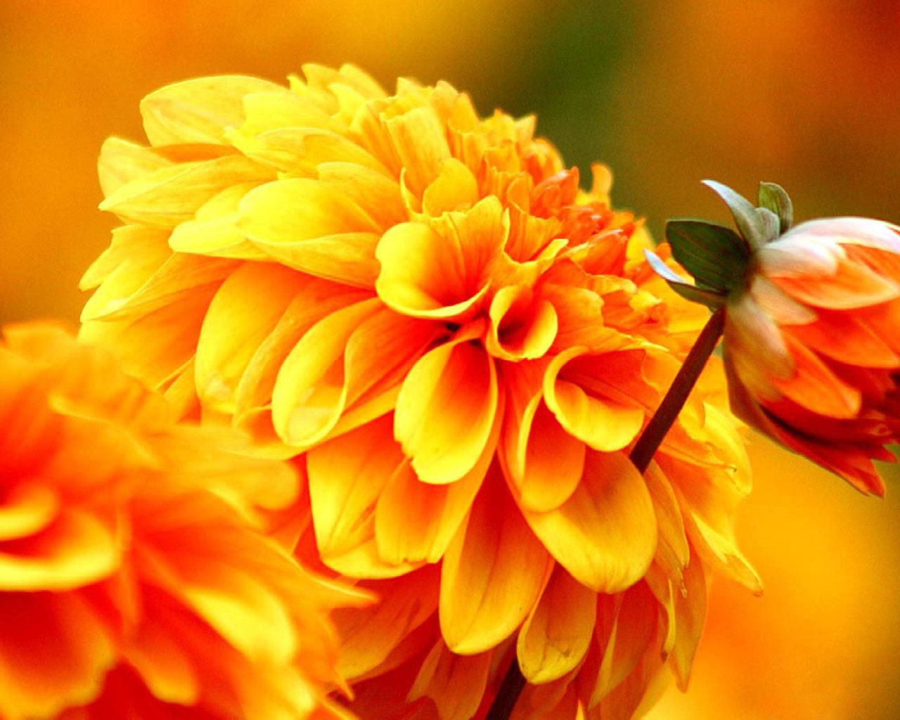 Fall Daisy Wallpaper Orange Dahlia Autumn Flowers Wallpapers Wallpapers13 Com