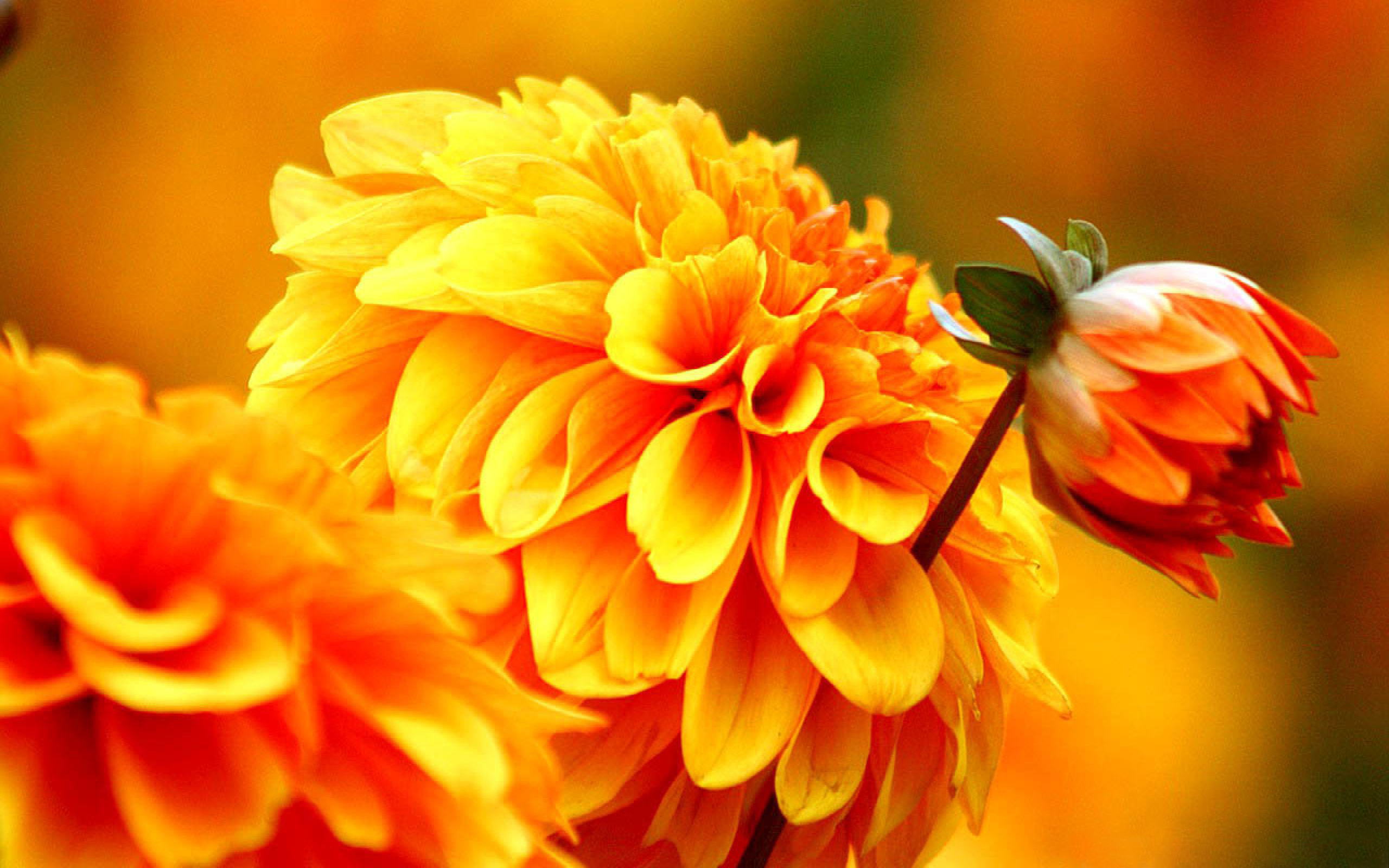 Free Fall Wallpaper For Iphone Orange Dahlia Autumn Flowers Wallpapers Wallpapers13 Com