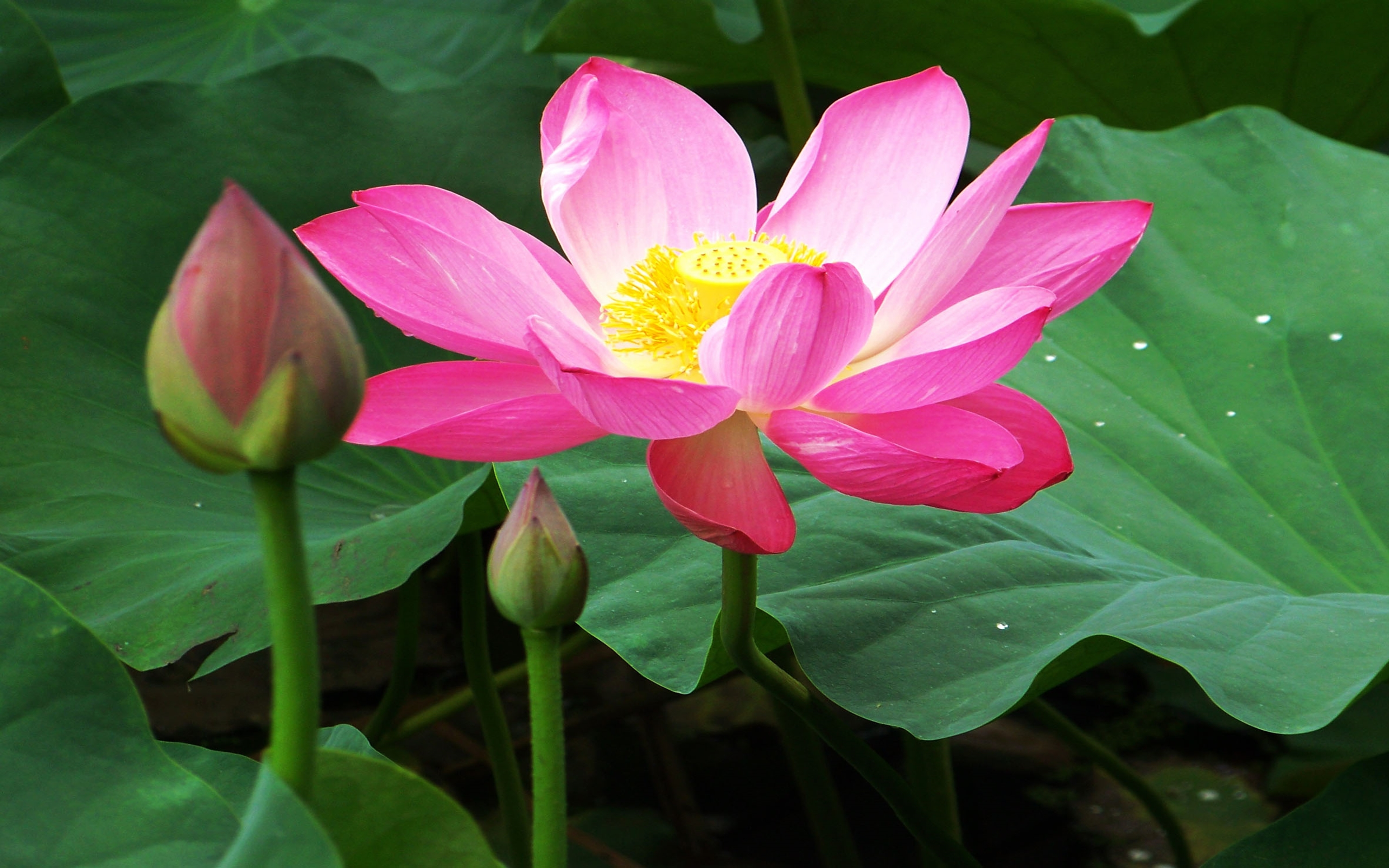Smiley Wallpapers With Quotes Beautiful Lotus Flowers Wallpapers 07 Wallpapers13 Com