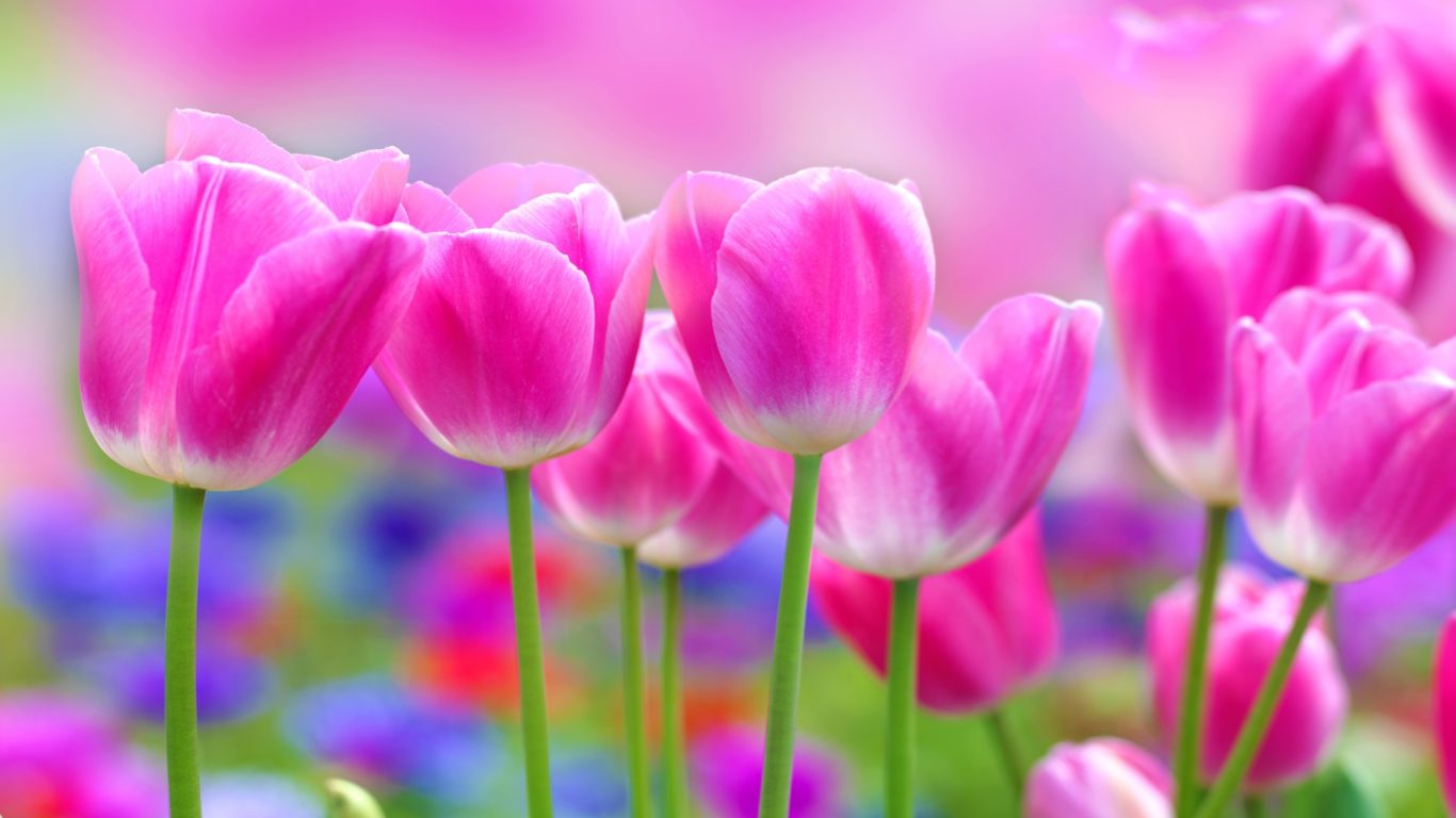 Cosmos Iphone X Wallpaper Beautiful Pink Tulips Flowers Blur Background 2560x1600