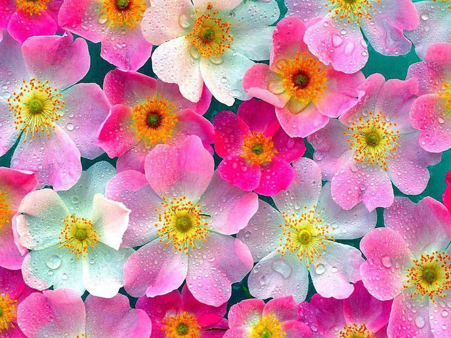 Cute Flowers Wallpaper Hd Skilal 457278  Wallpapers13com