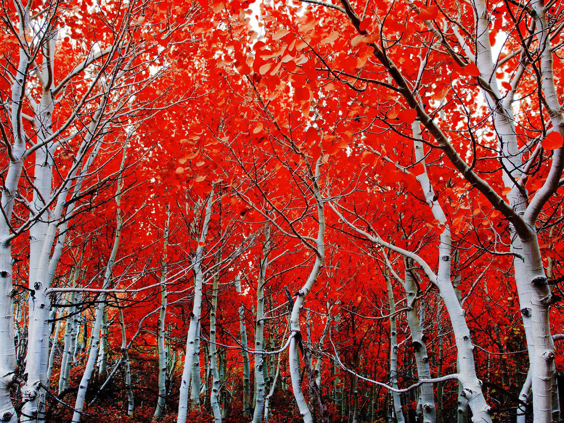 Fall Trees Iphone Wallpaper Fall Birch Red Leaves Hd Wallpaper 2560x1600
