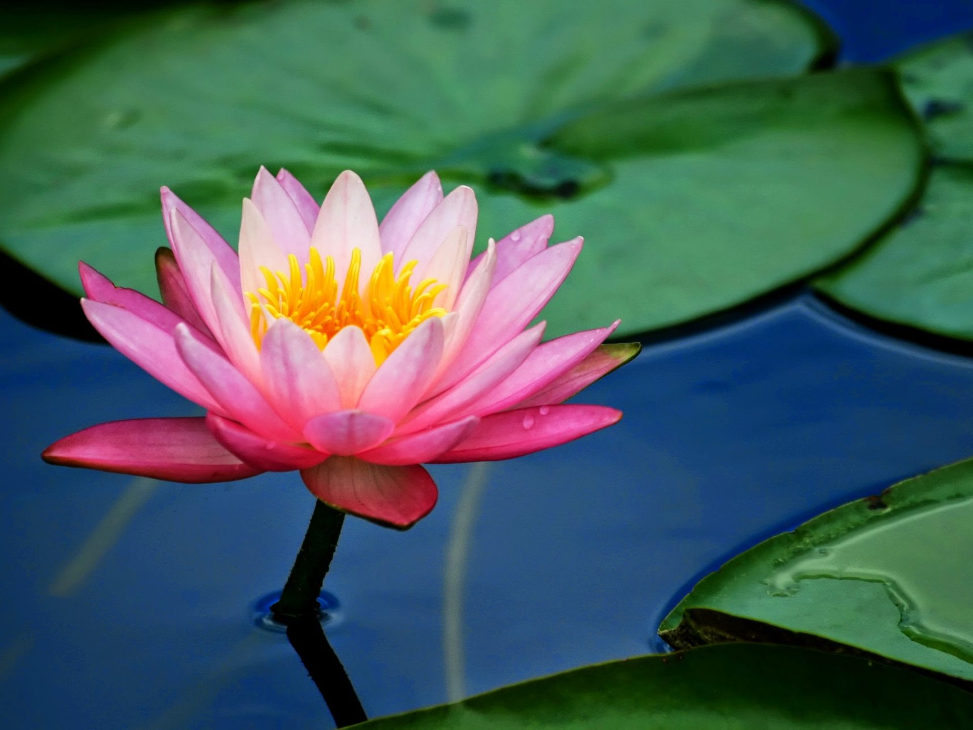 Free Christmas Wallpaper Iphone 4 Flower Pink Lotus Flower And Lily Pads 2560x1600