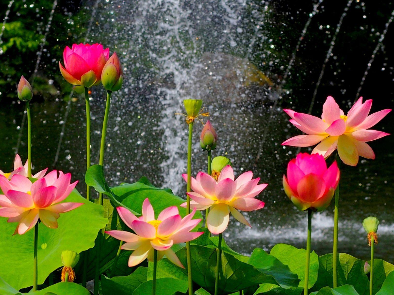 Pink Wallpaper Iphone 4 Lotus Flower Wallpaper Hd Download Of Pink Lotus Flower