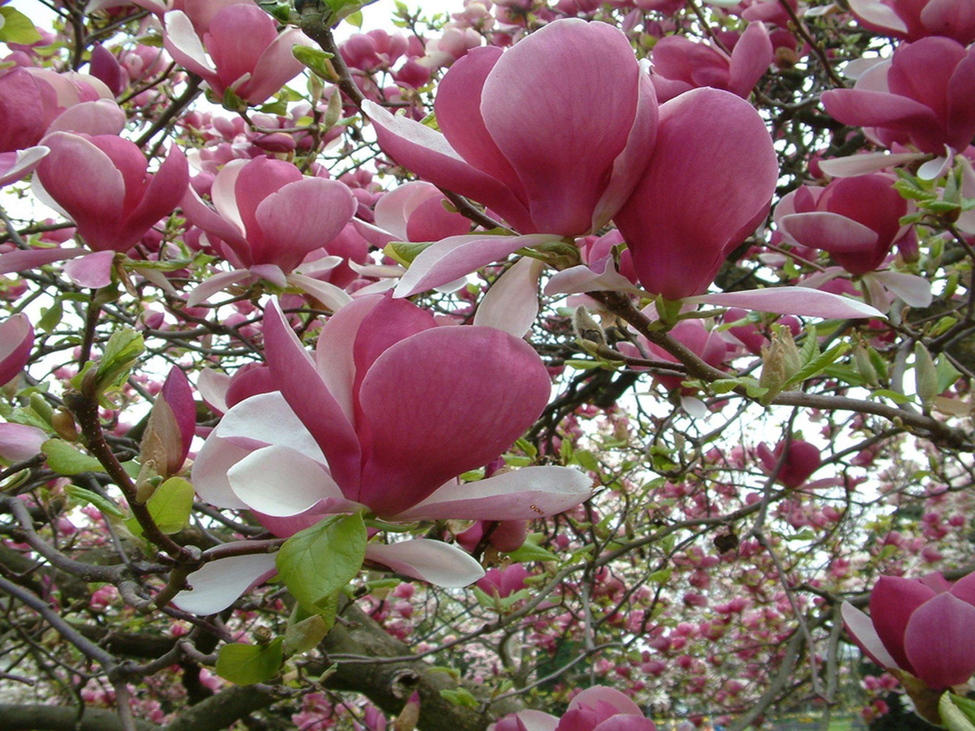 Cute Bunny Wallpaper Hd Magnolia Tree Pink Flower Wallpaper For Desktop 2560x1600