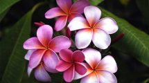 Pink Plumeria Hd Wallpaper 3527