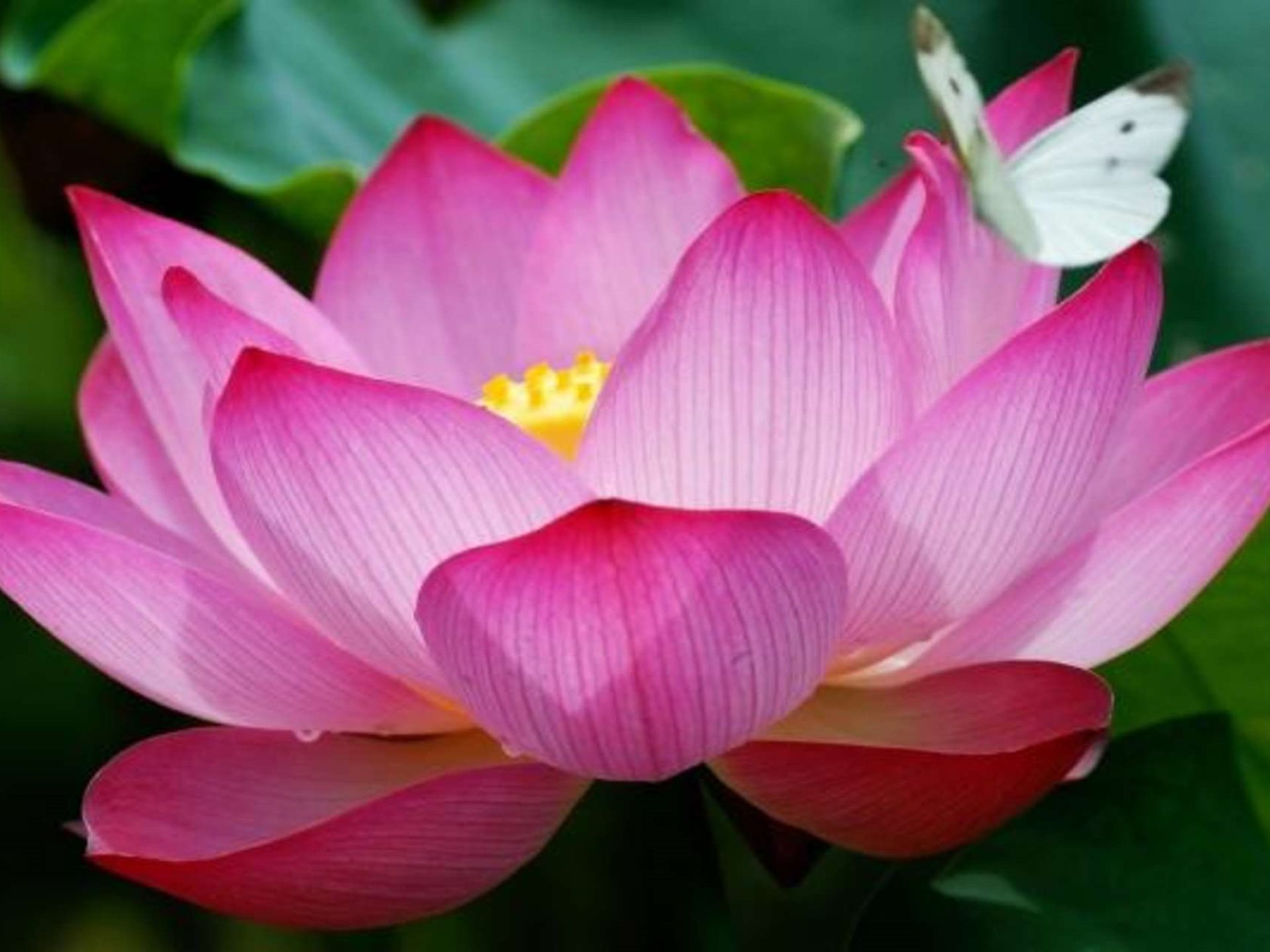 Gold Iphone X Wallpaper Pink Lotus Flowers And A Butterfly Hd Wallpaper 72i38