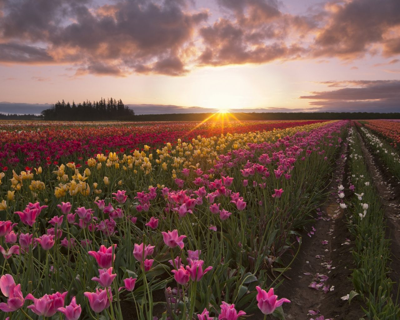 Beautiful Wild Animals Wallpapers Summer Tulip Flowers Fields Sun Rays Morning Dawn