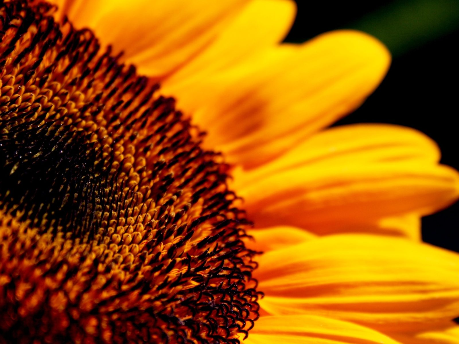 Hd Images Wallpaper Free Download Sunflower Flower Close Up High Definition 2560x1600