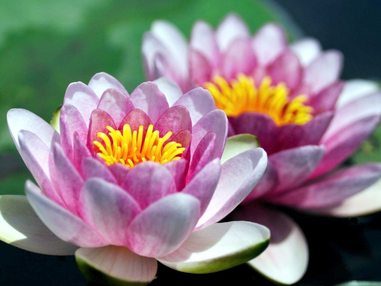 Iphone 5 Wallpaper Pink Water Lily Close Up Petals Flowers 2560x1600