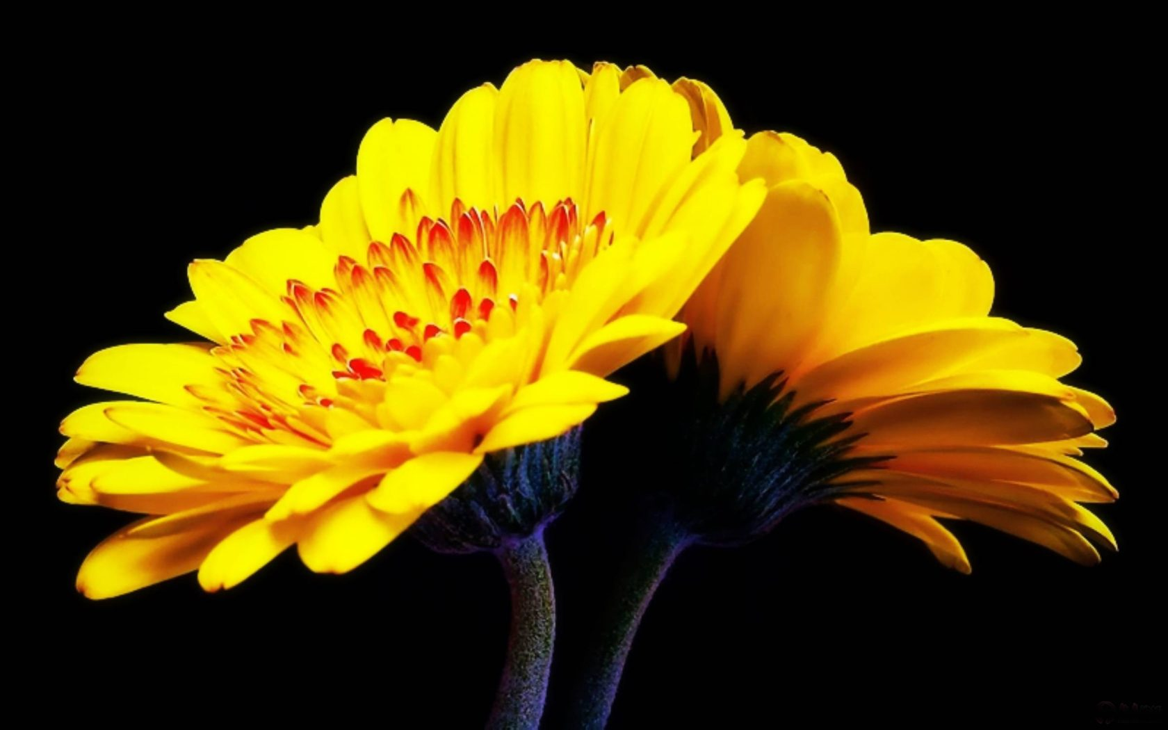 3d Android Wallpapers For Pc Yellow Gerbera Flower Wallpaper Pc Wallpapers13 Com