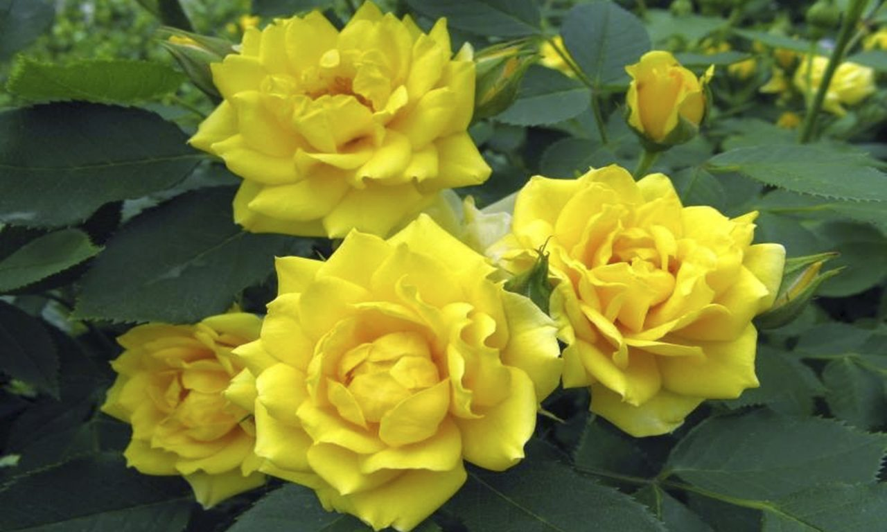 Yellow Rose Garden Pictures 123  Wallpapers13com