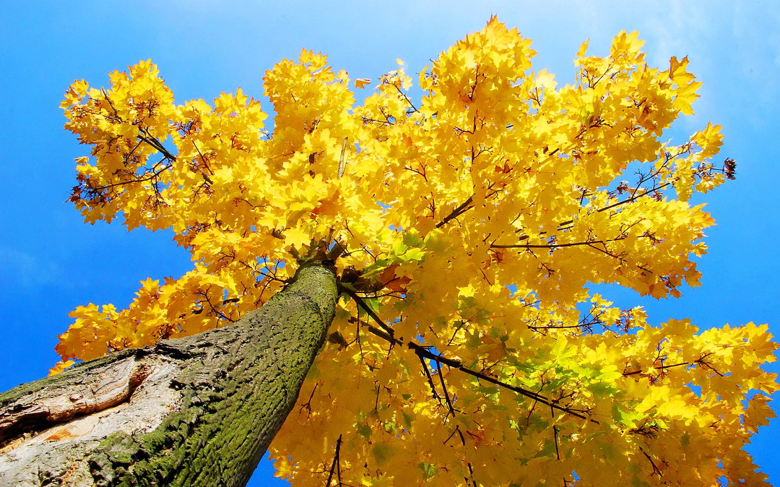 Late Fall Iphone Wallpaper Yellow Maple Tree Autumn 7052470 Wallpapers13 Com