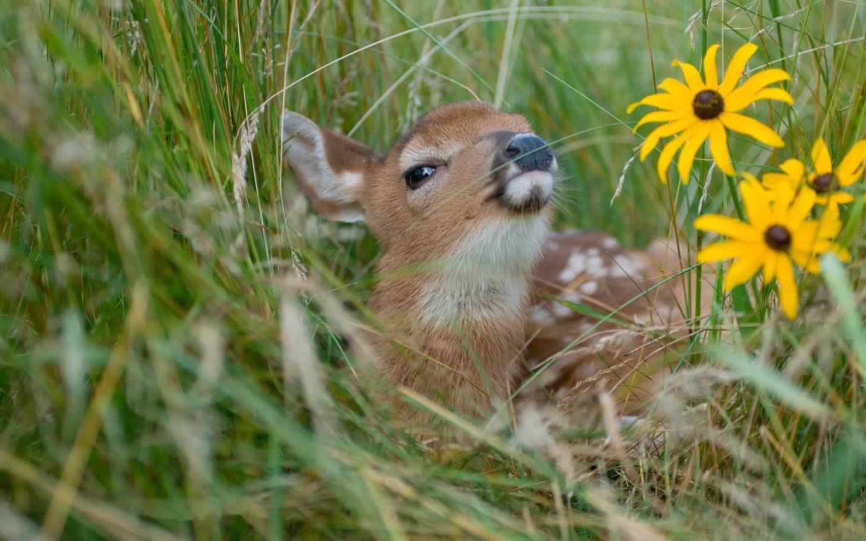 Cute Polar Bear Cubs Wallpaper Baby Deer Grass Rudbeckia Yellow Flowers Hd Wallpaper