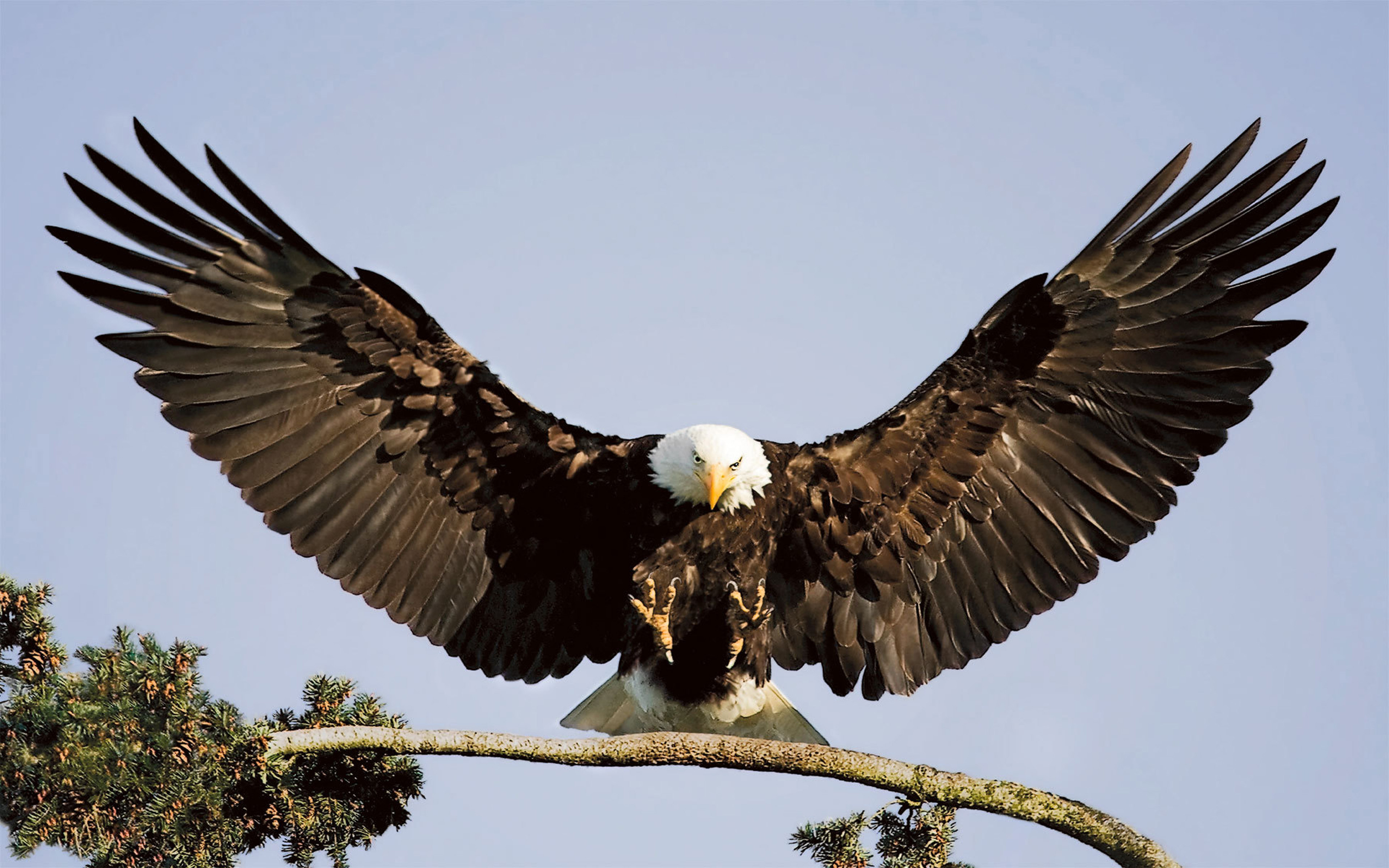 Bald Eagle Landing Branch Desktop Background