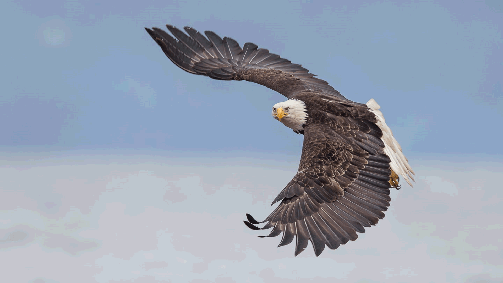 Fall Owl Wallpapers Bald Eagle In Flight Alaska Wallpaper For Pc And Mobile
