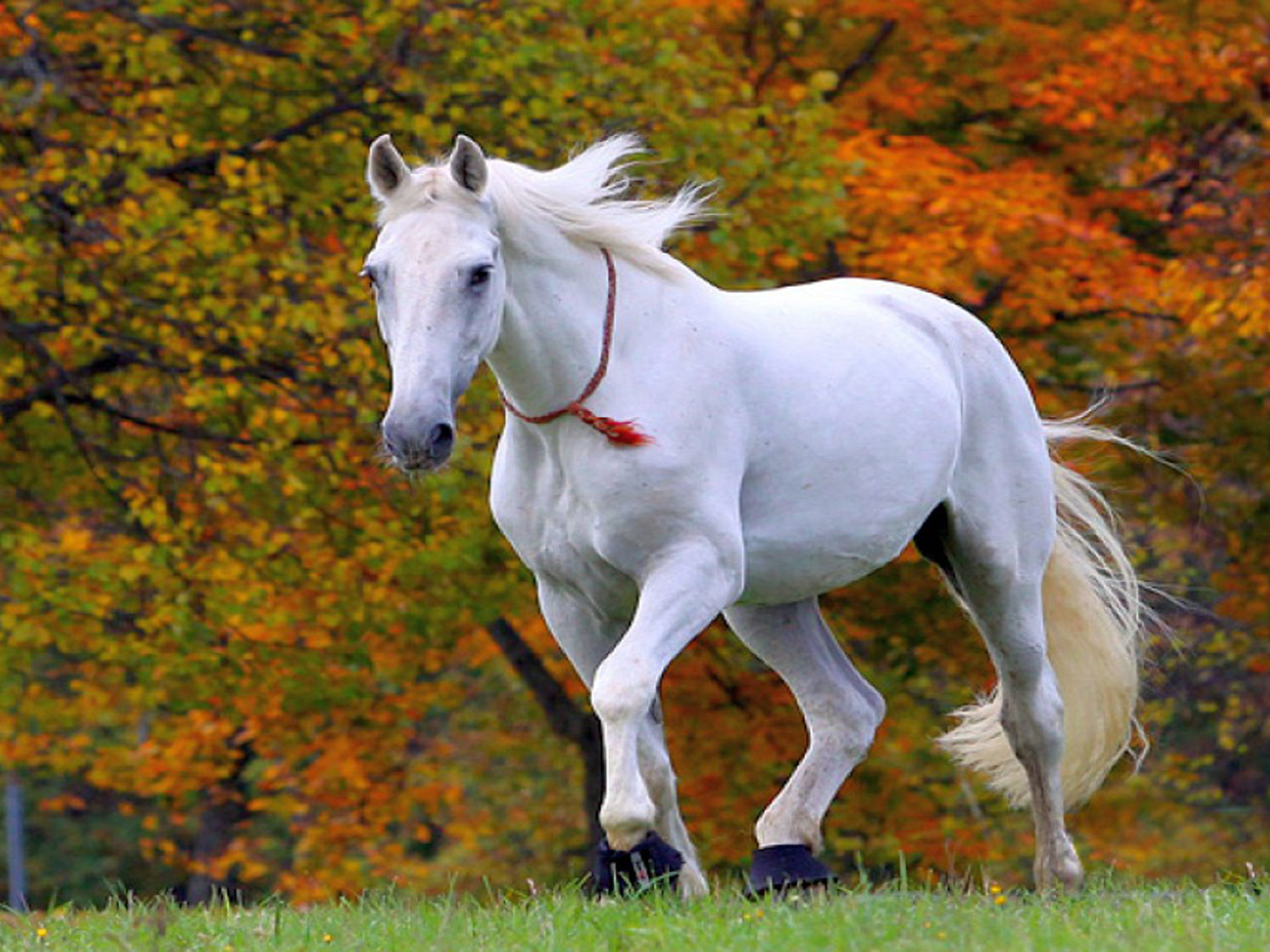 Beautiful White Horse Wallpaper Hd 013