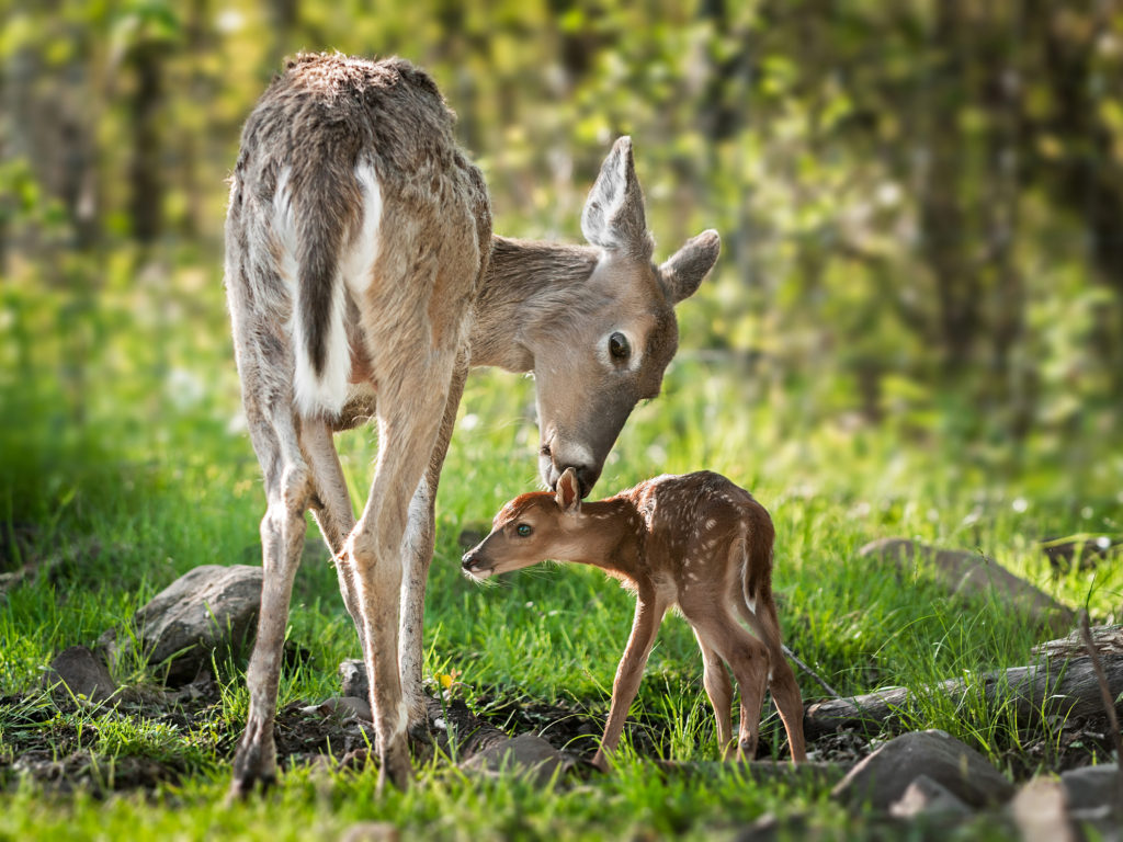 Cute Baby Wallpaper Backgrounds Beautiful Mom White Tailed Deer Cleaning Her Baby
