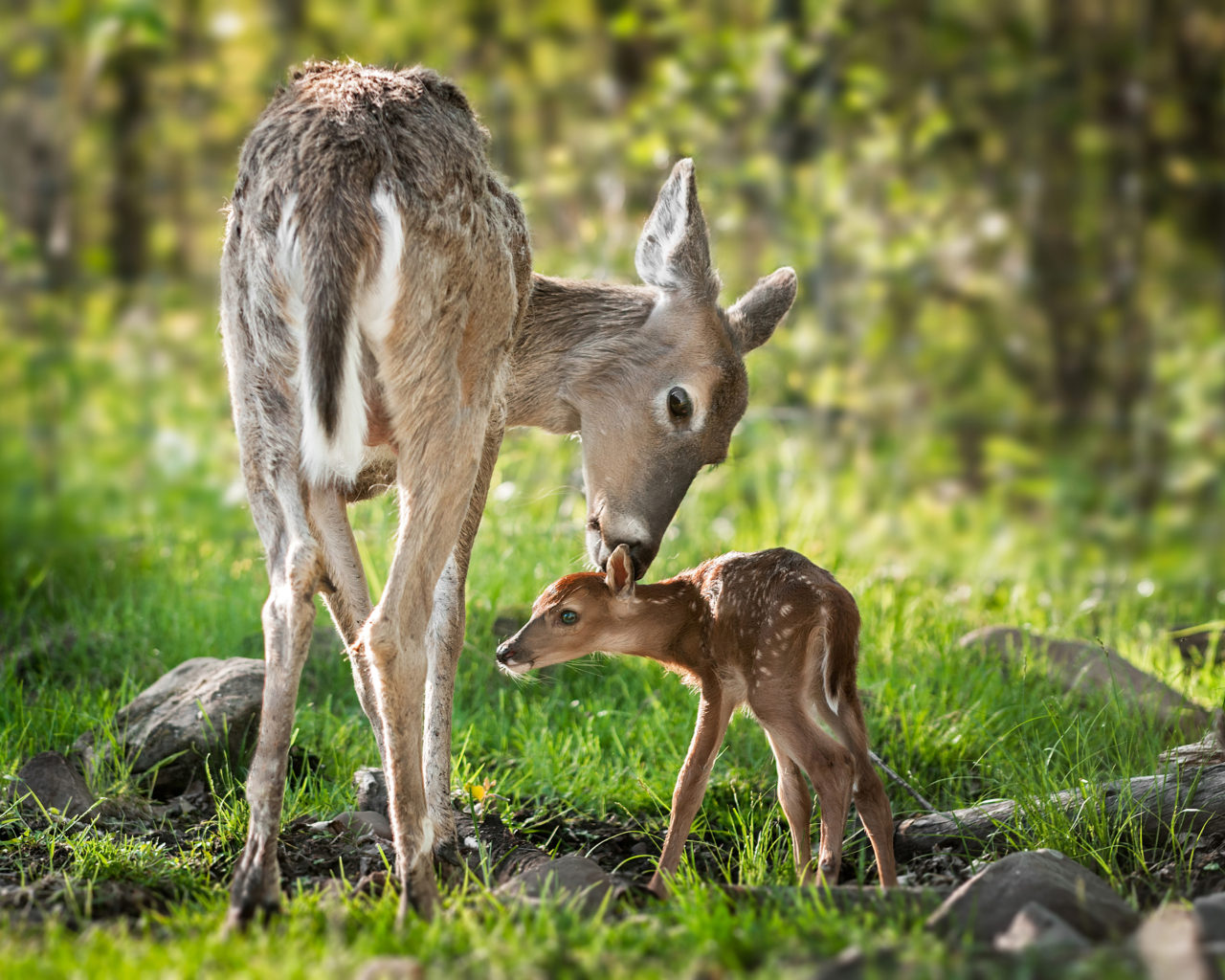 Cute Lizard Wallpaper Beautiful Mom White Tailed Deer Cleaning Her Baby
