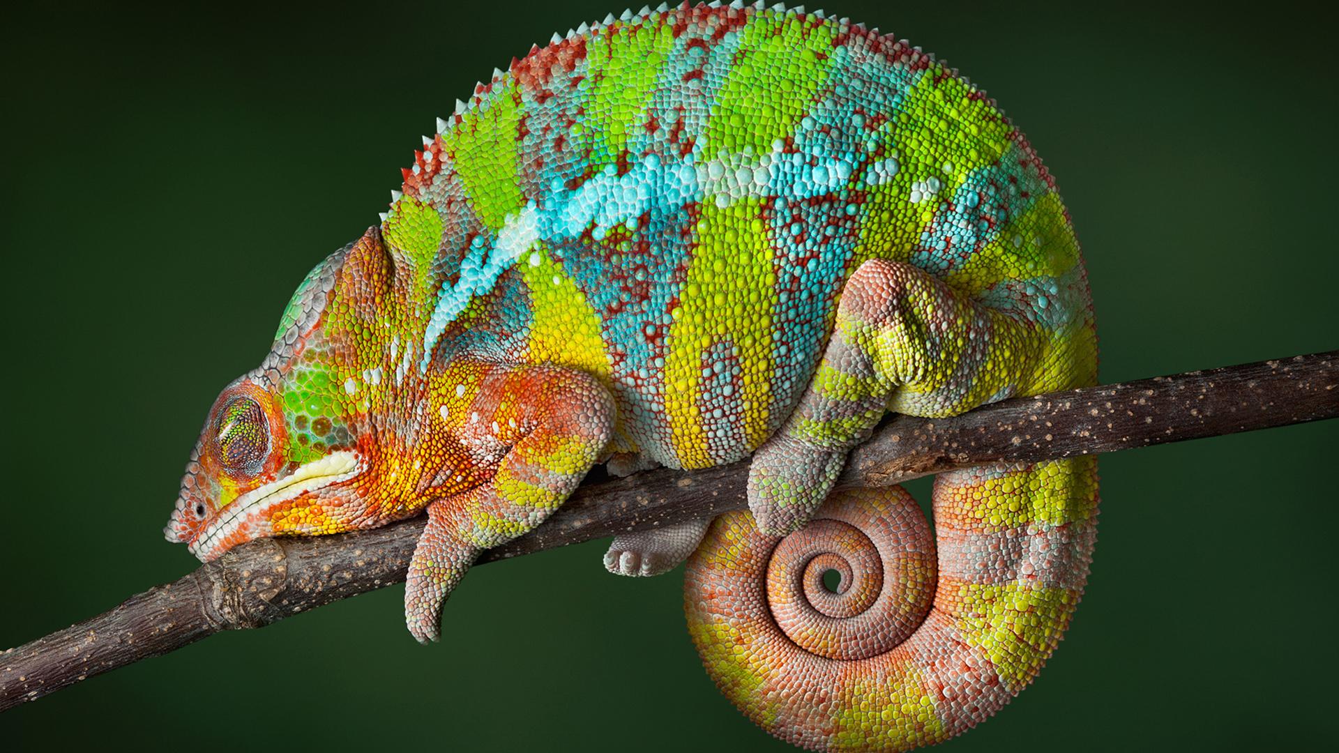Chameleon Striped Lizard Sleep Tail In Round Desktop Hd