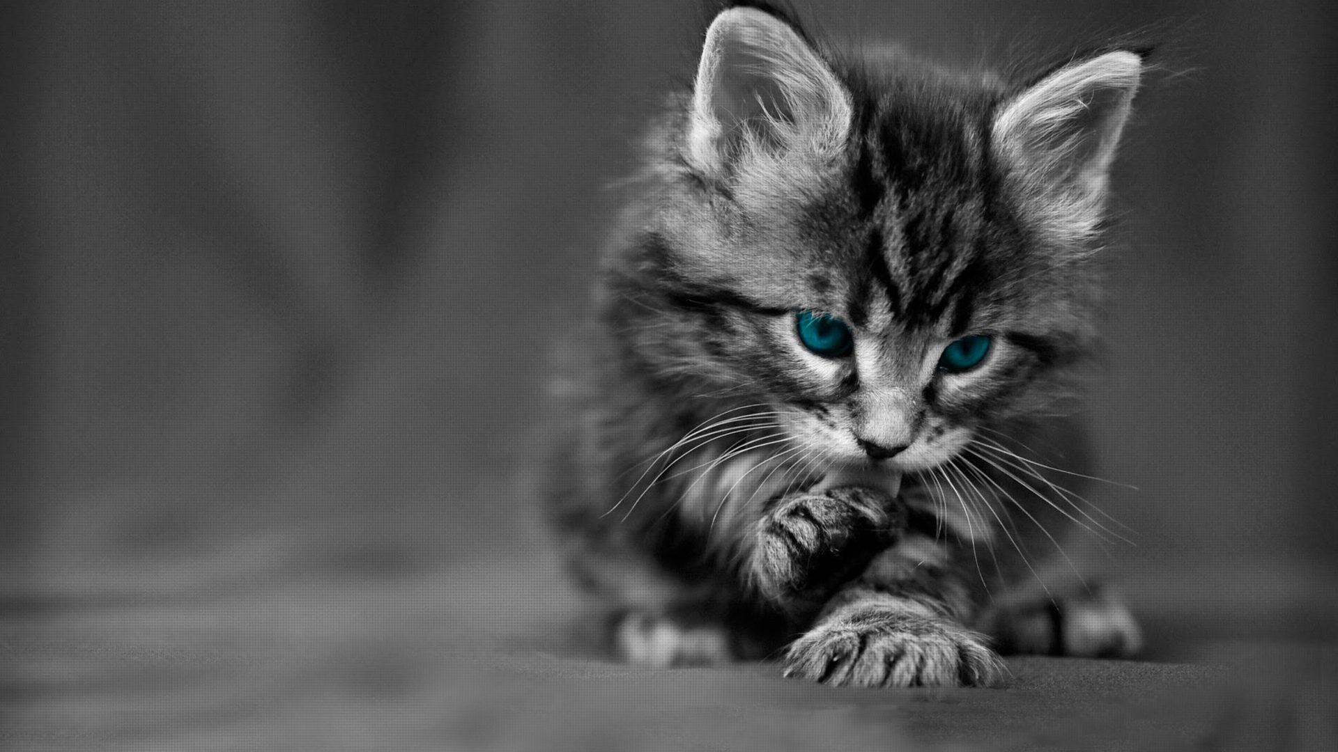 Cute Kitten Christmas Wallpaper Desktop Wallpaper Hd Gray Kitten With Blue Eyes