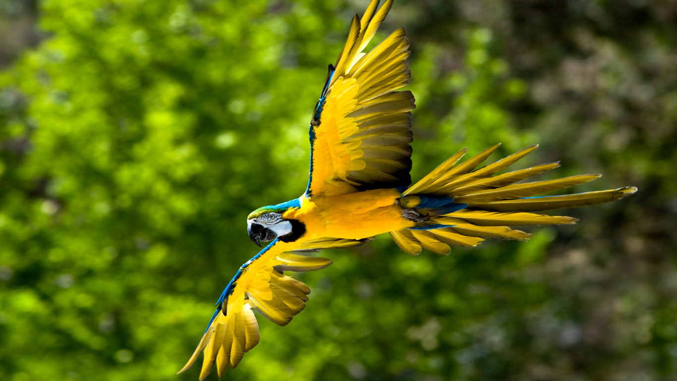 Brown Wallpaper Iphone X Flying Blue And Yellow Macaw Parot Bird Wallpapers13 Com