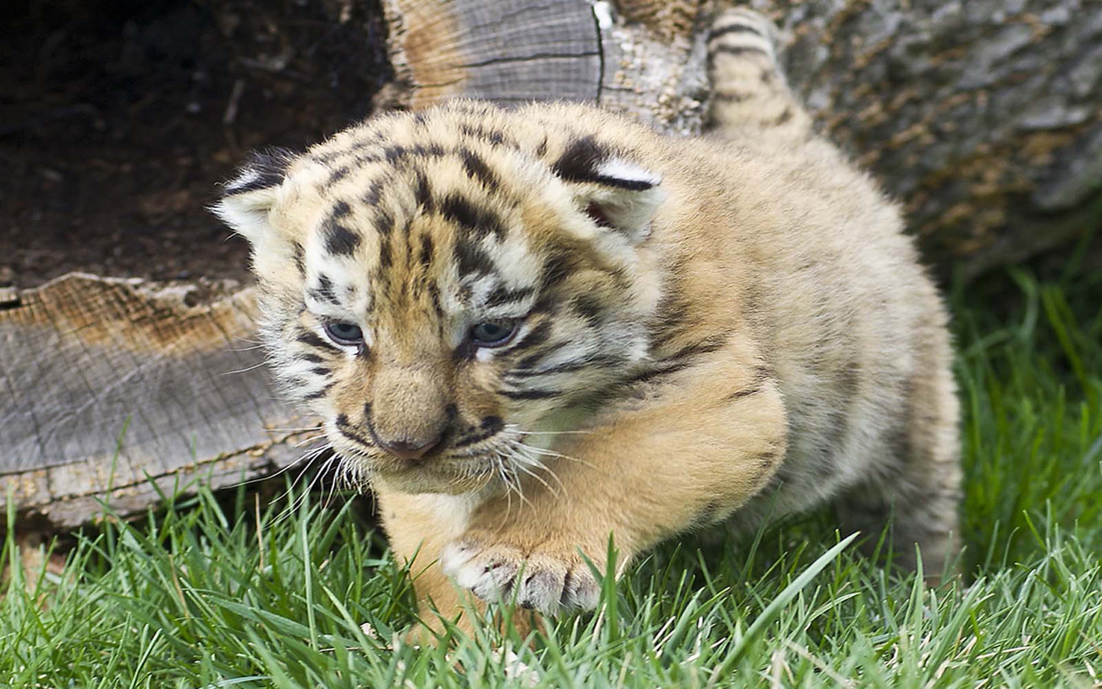 Cute Wallpapers White Background Iages Cute Tiger Cubs Wallpapers Hd Wallpapers13 Com