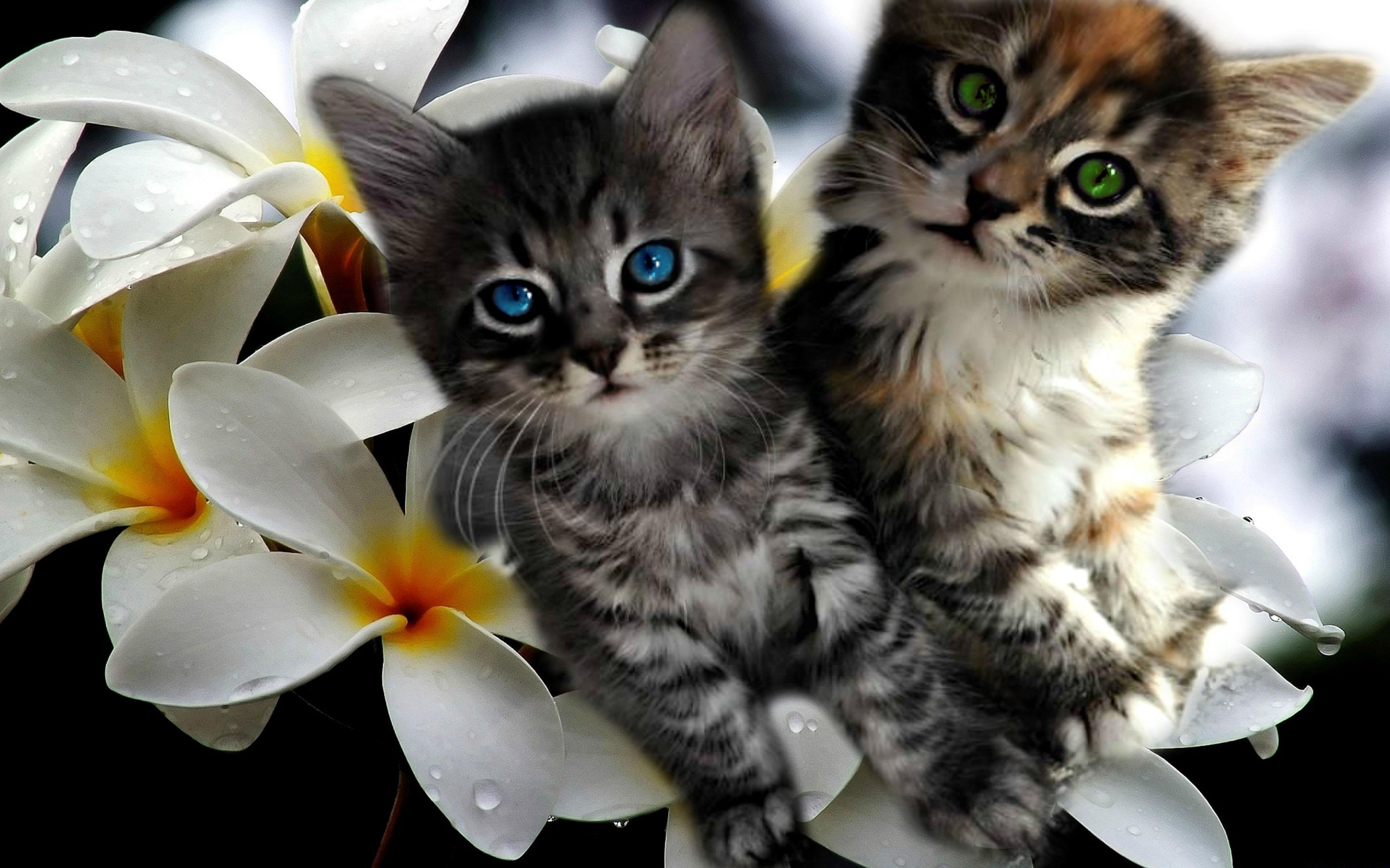Free Cute Christmas Desktop Wallpaper Kittens Plumeria For Desktop Background Widescreen