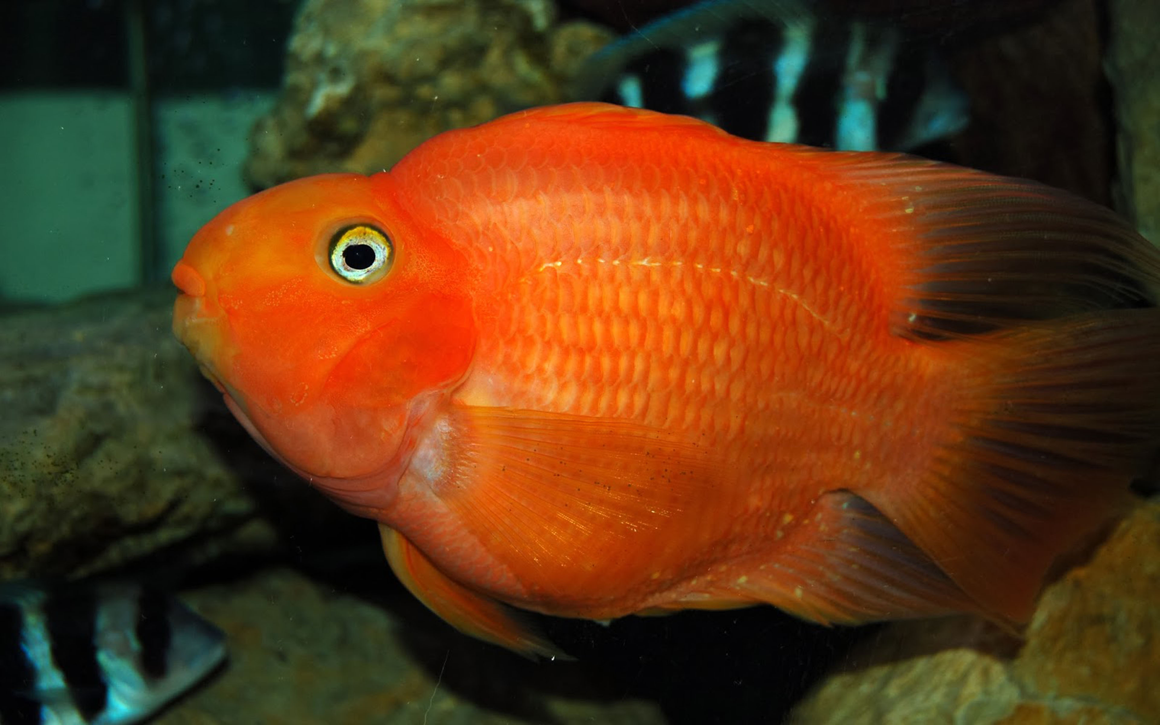 Cute Goldfish Wallpaper Red Ikan Parrot Fish 3840x2400 Wallpapers13 Com