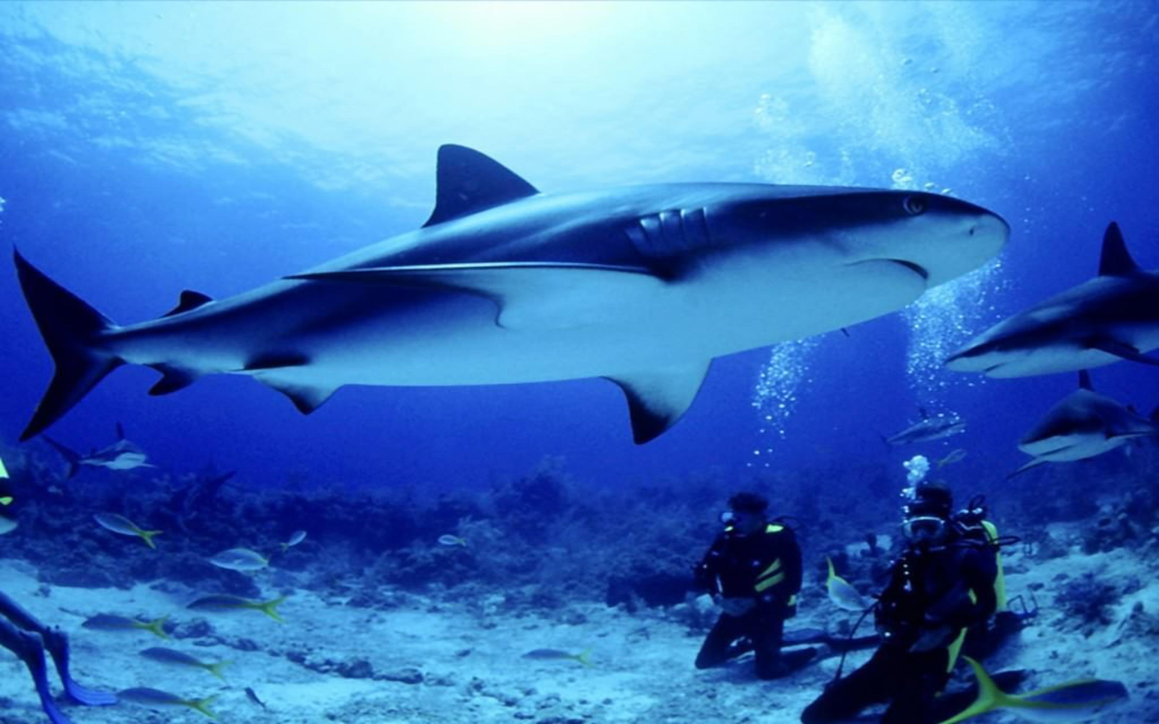 Koi Wallpaper Iphone Seabed Shark Fish Divers Hd Wallpapers For Desktop