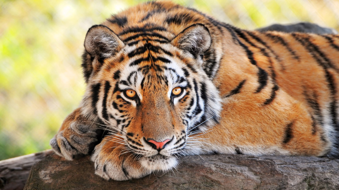 Hd Tiger Wallpapers For Iphone 5 Tiger Stone Lying Big Cats Predator Wallpaper Hd