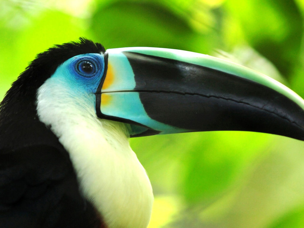 Beautiful Wild Animals Wallpapers Toucan Beautiful Exotic Bird Wallpaper For Mobile Phone