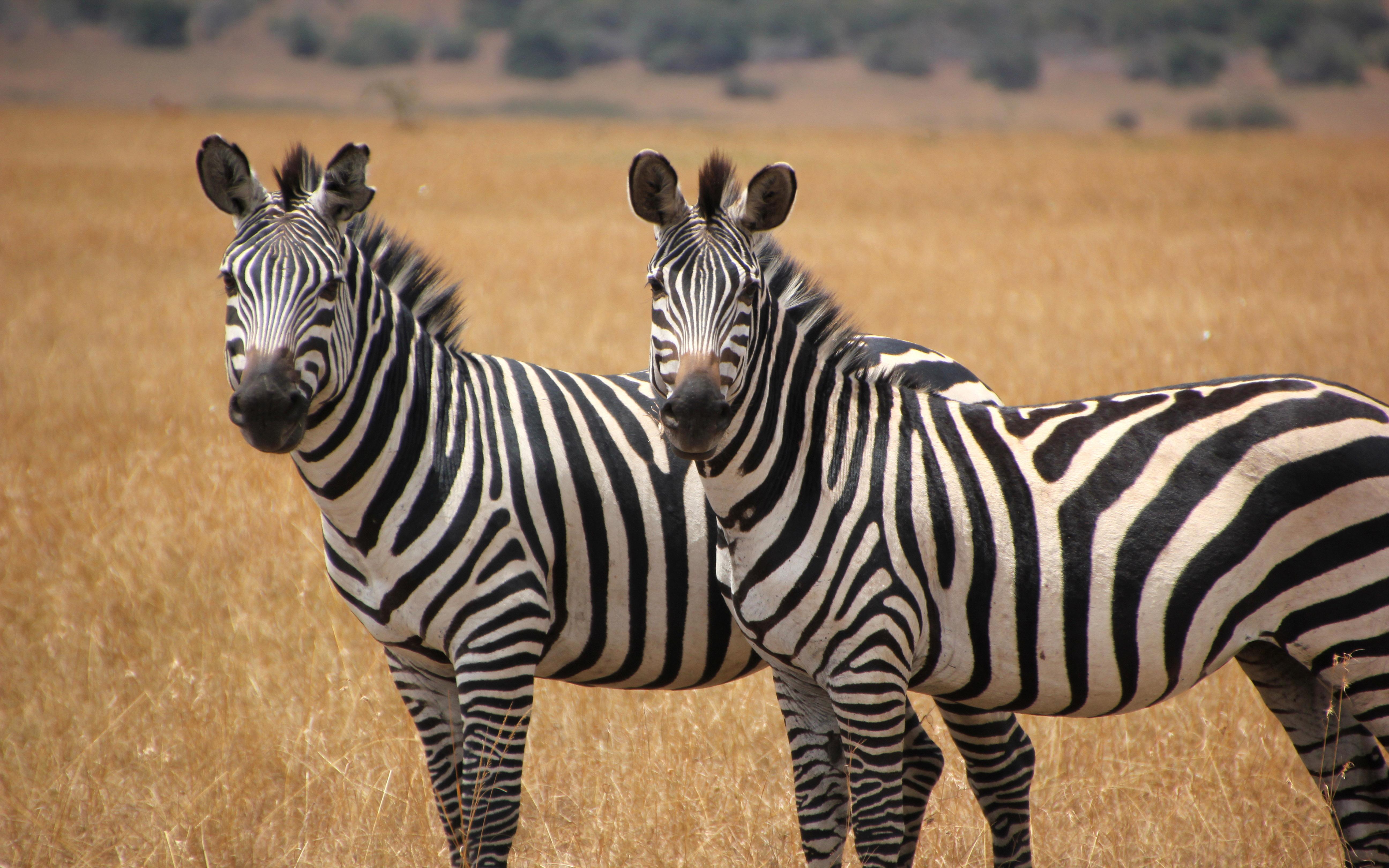 Sad Cute Baby Wallpaper Download Two Cute Zebras Animal Wallpaper Hd Wallpapers13 Com