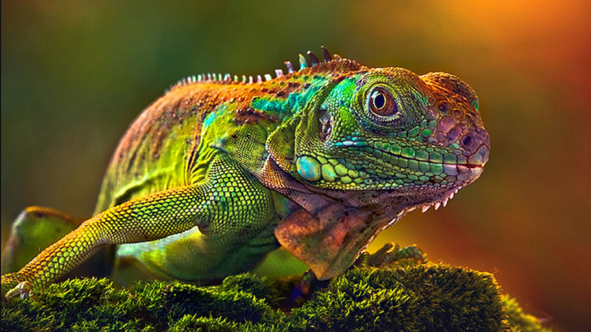 Wallpaper Hd Camaleon Some Lizards Change Color Very